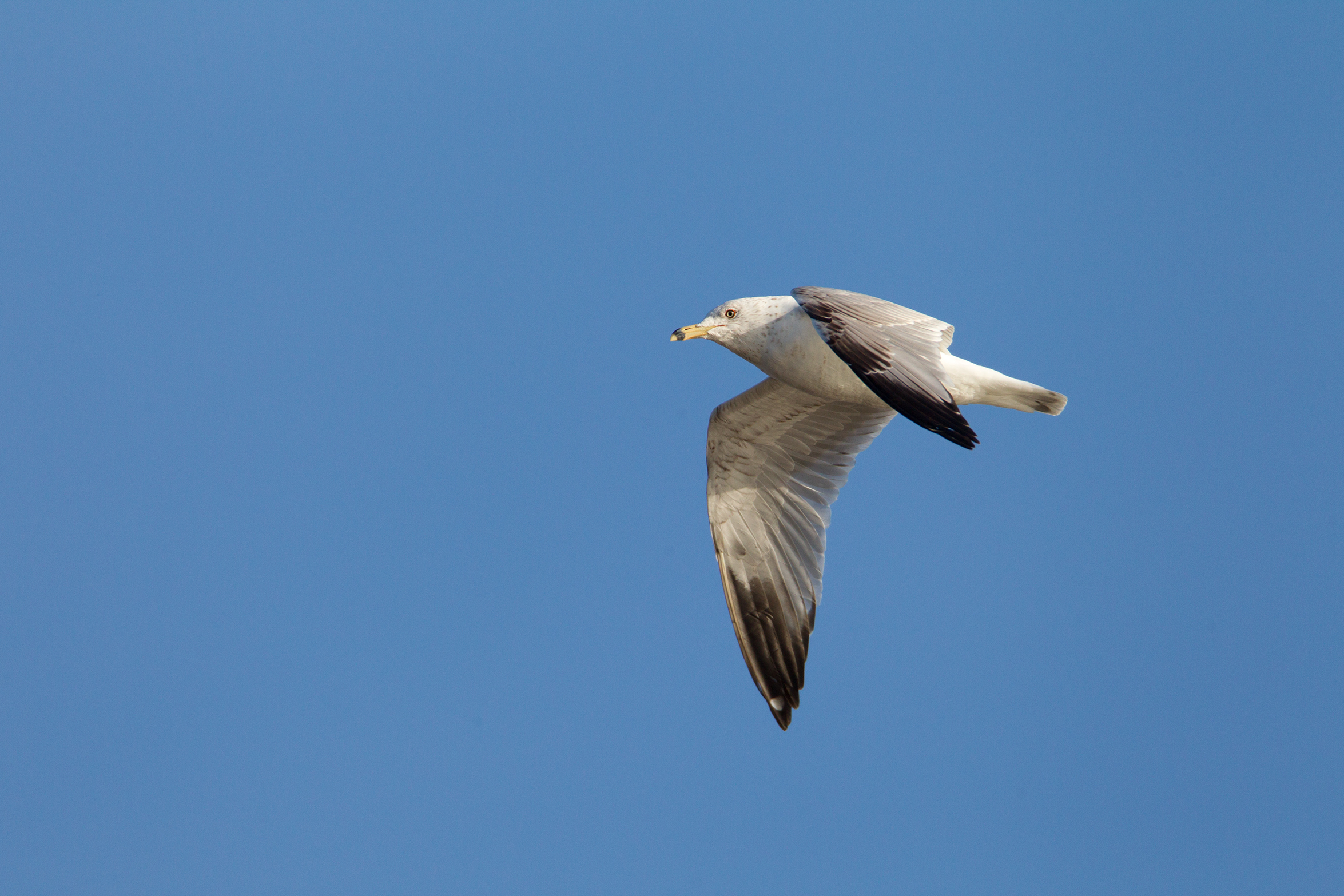 RING-BILLED GULL - Grayson County Tx