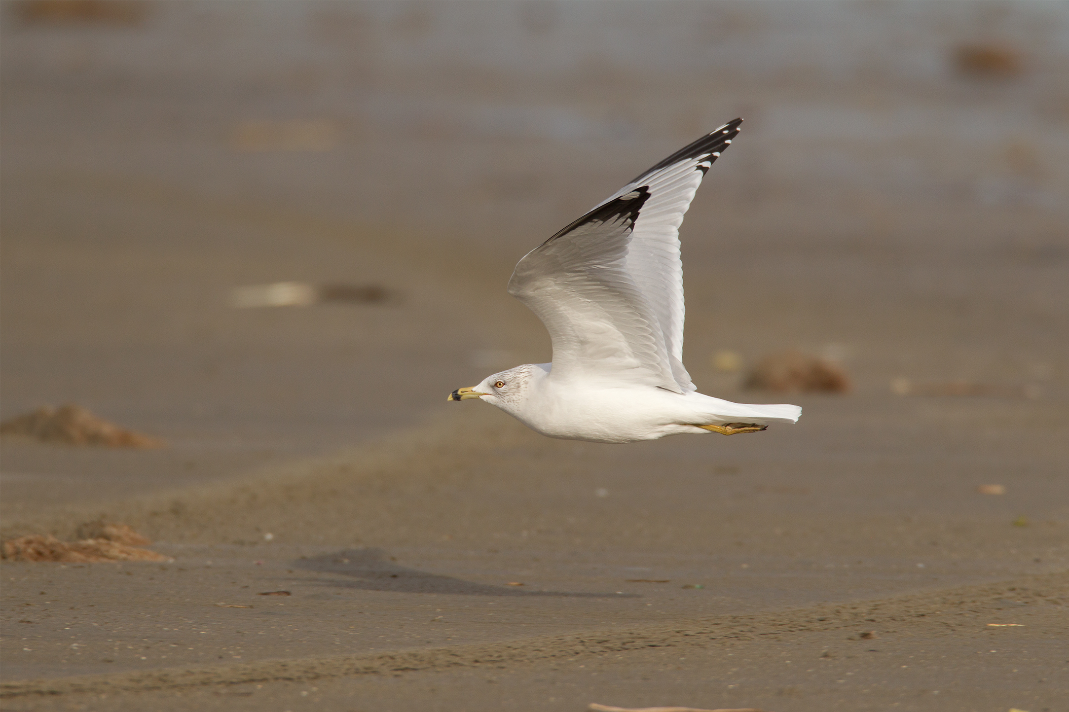 RING-BILLED GULL - Galveston County Tx
