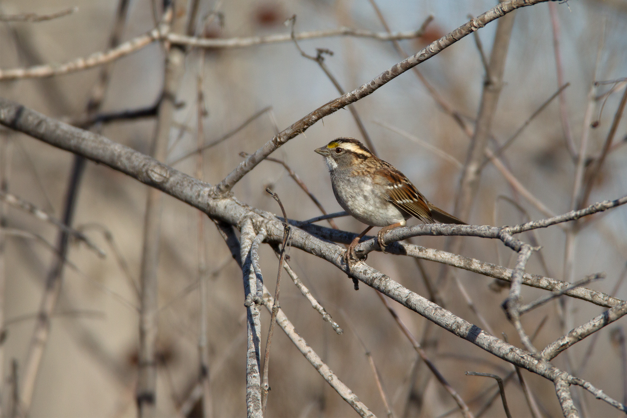 WHITE-THROATED SPARROW - Grayson County Tx