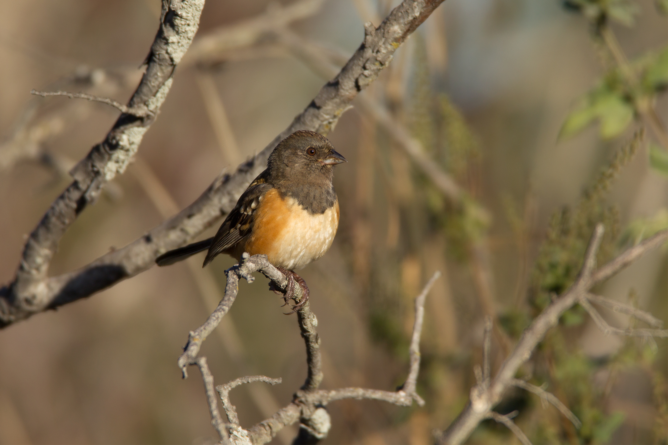 SPOTTED TOWHEE - Grayson County Tx