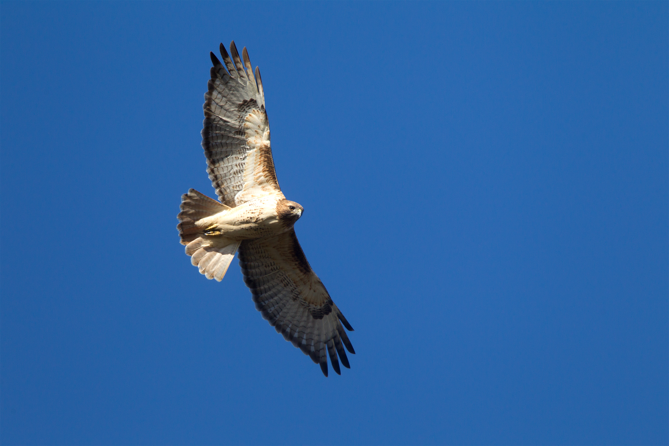RED-TAILED HAWK - Galveston County Tx