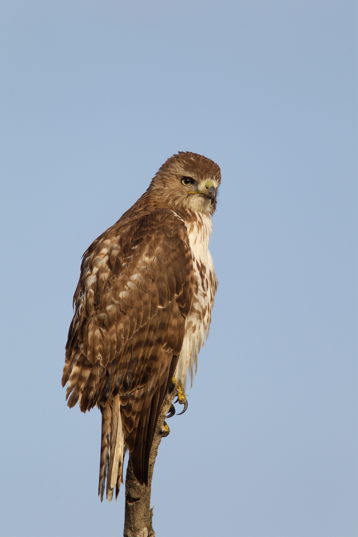 RED-TAILED HAWK - Tarrant County Tx