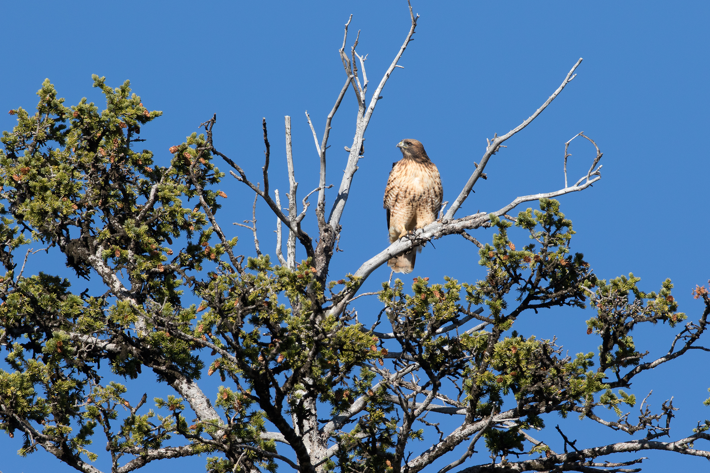 RED-TAILED HAWK - Wyoming
