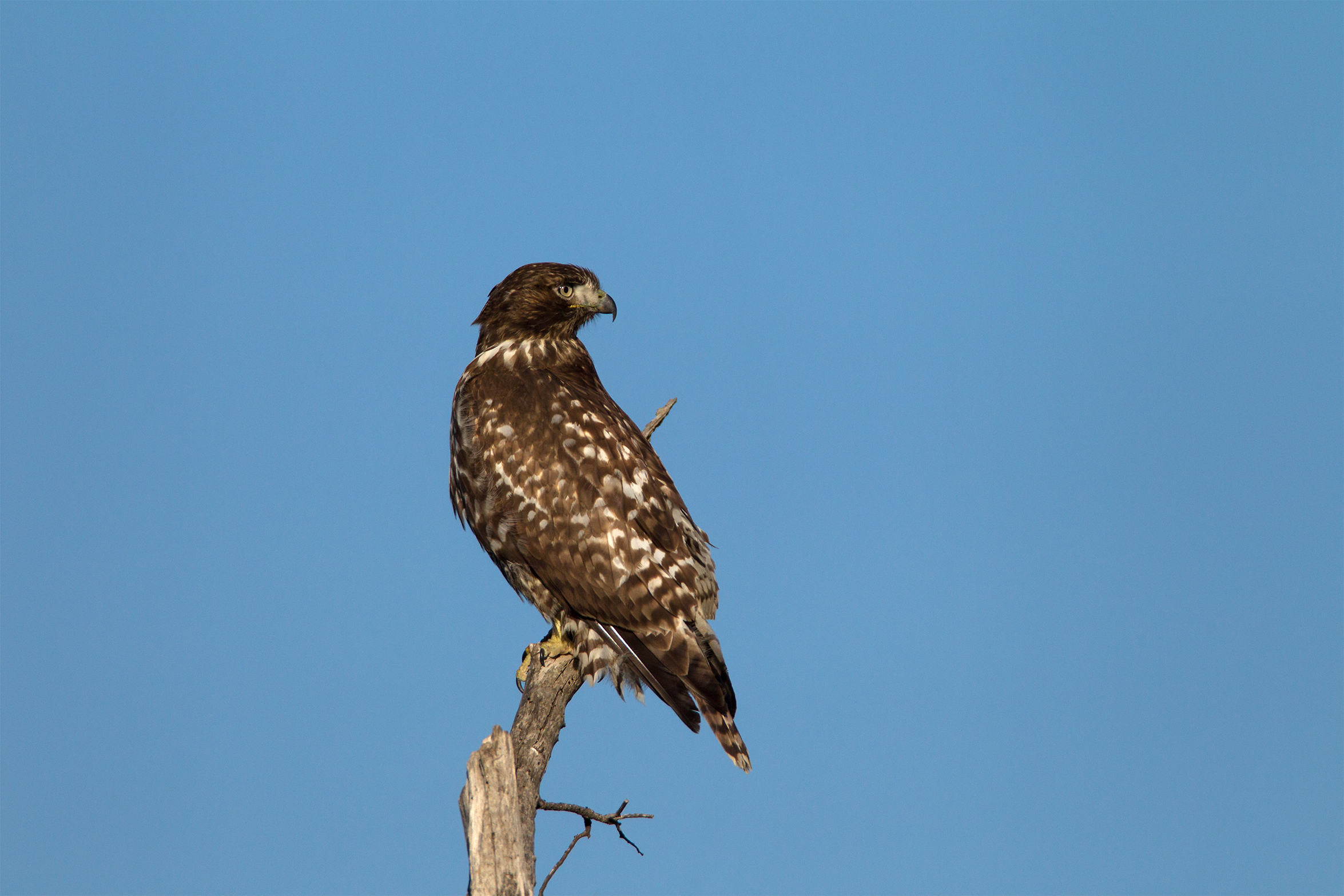 RED-TAILED HAWK - Grayson County Tx
