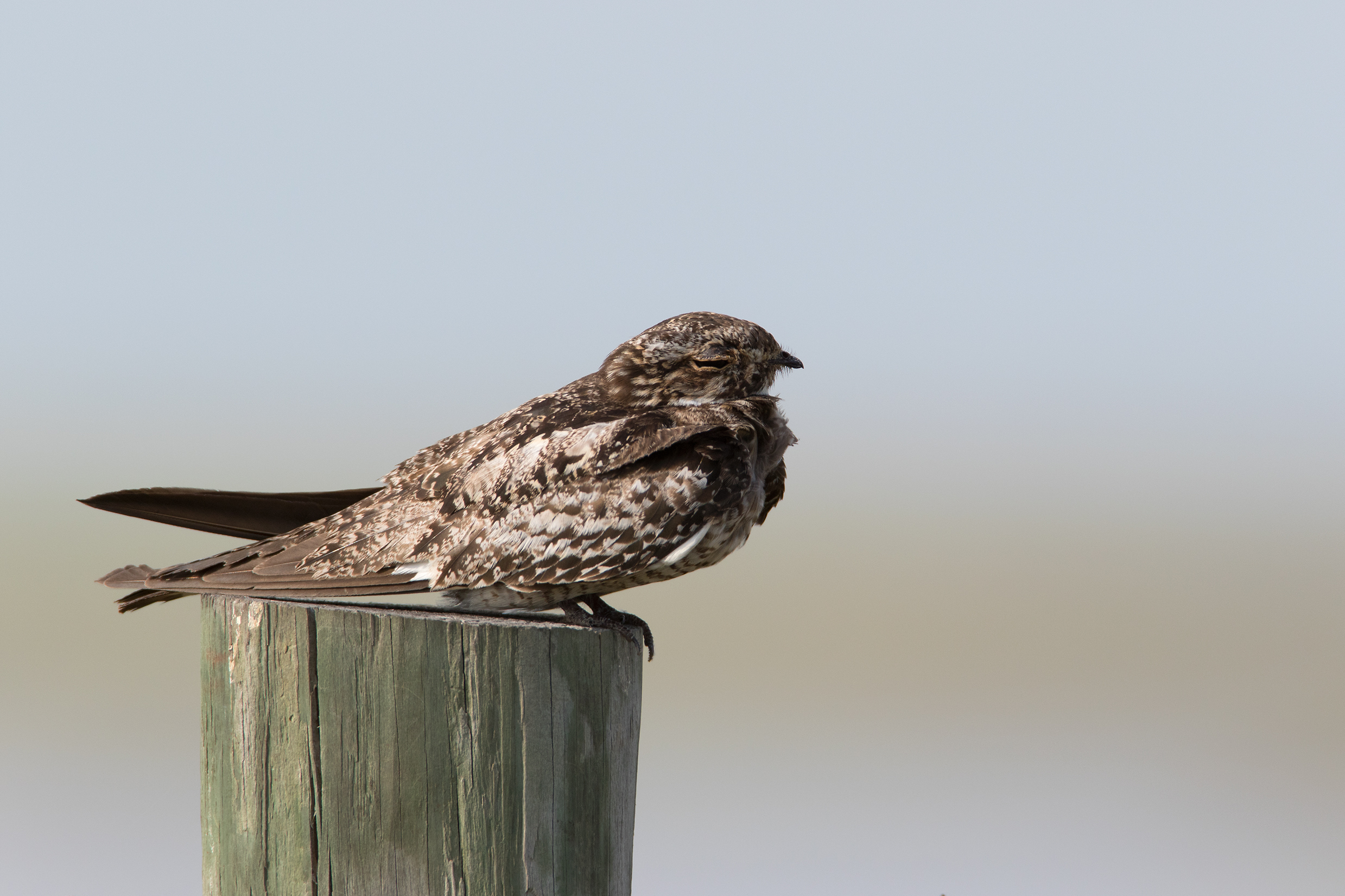COMMON NIGHTHAWK - Matagorda County Tx