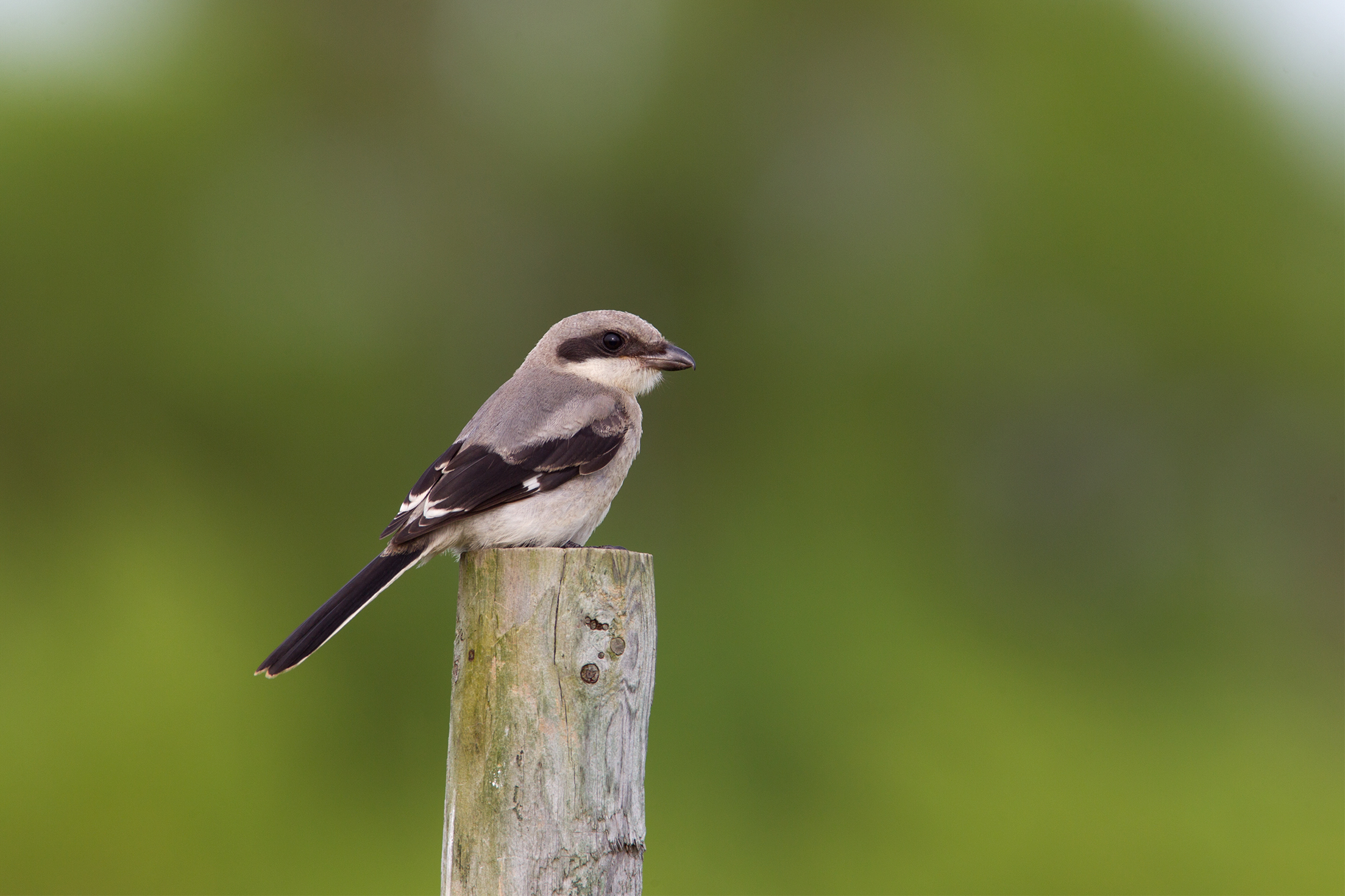 LOGGERHEAD SHRIKE - Galveston County Tx
