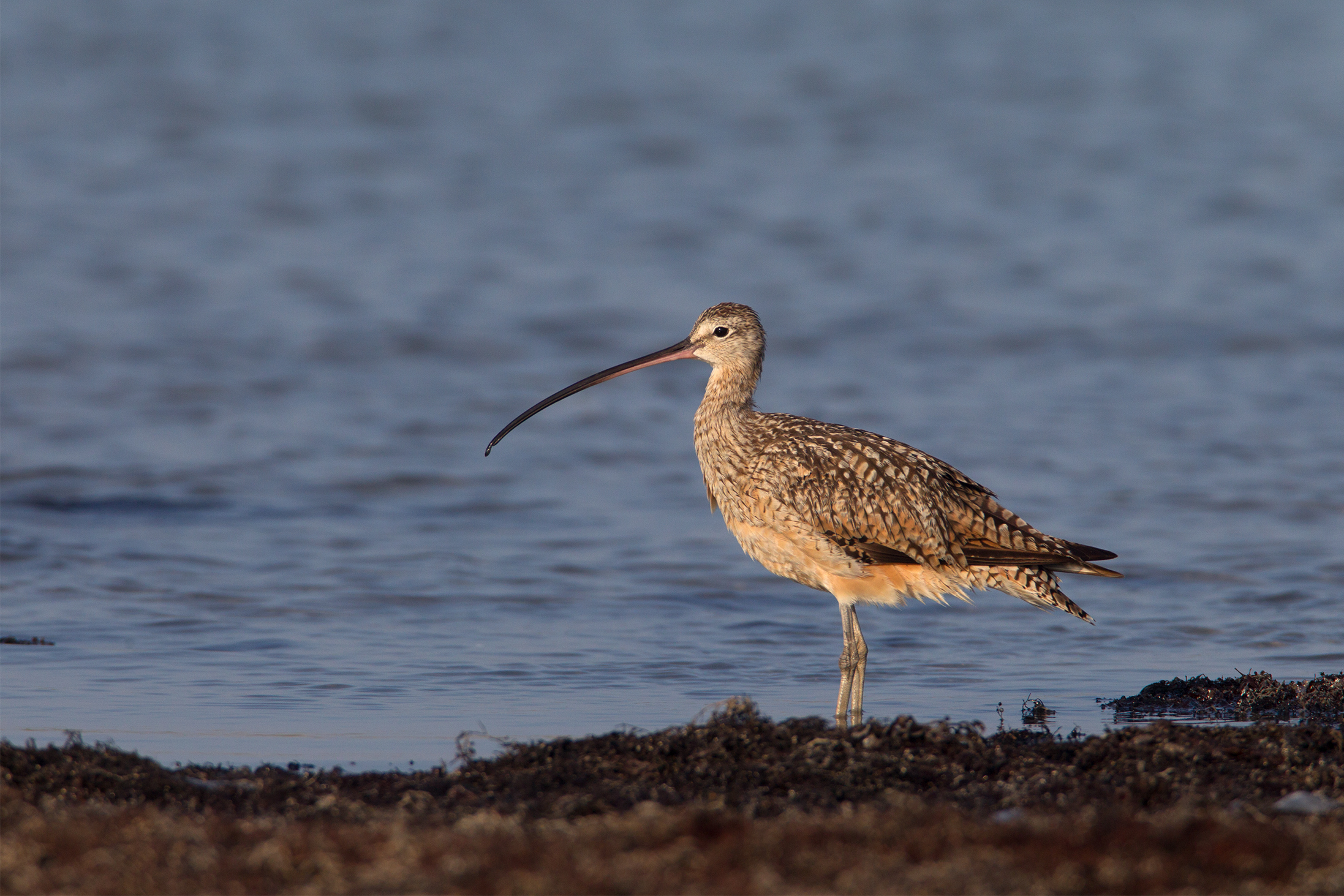 LONG-BILLED CURLEW - Nueces County Tx