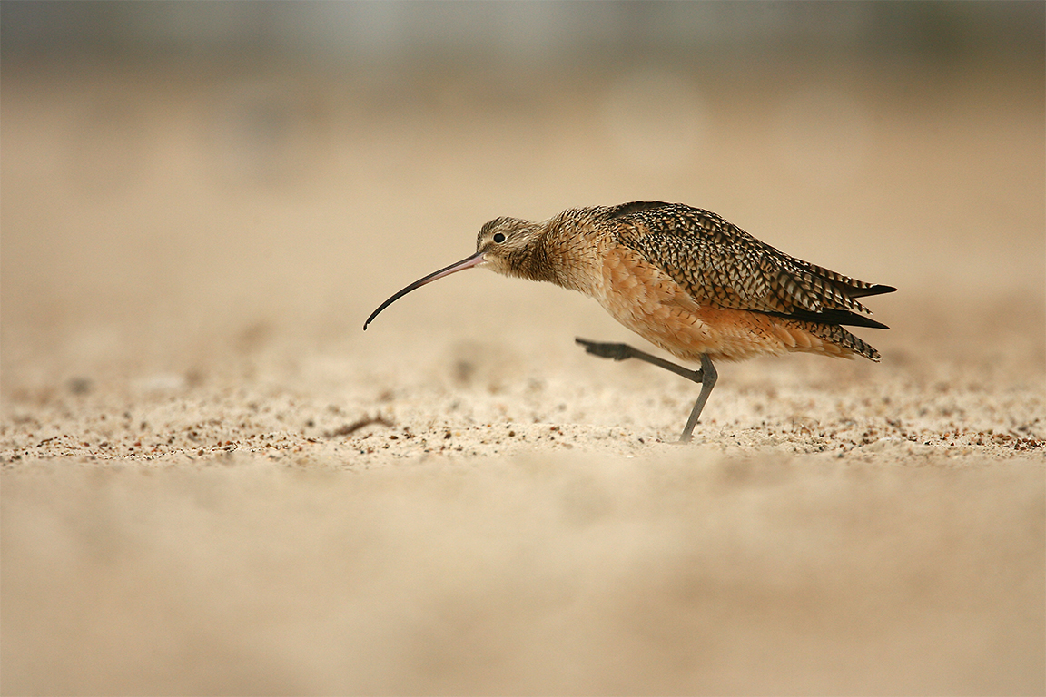 LONG-BILLED CURLEW - Aransas County Tx
