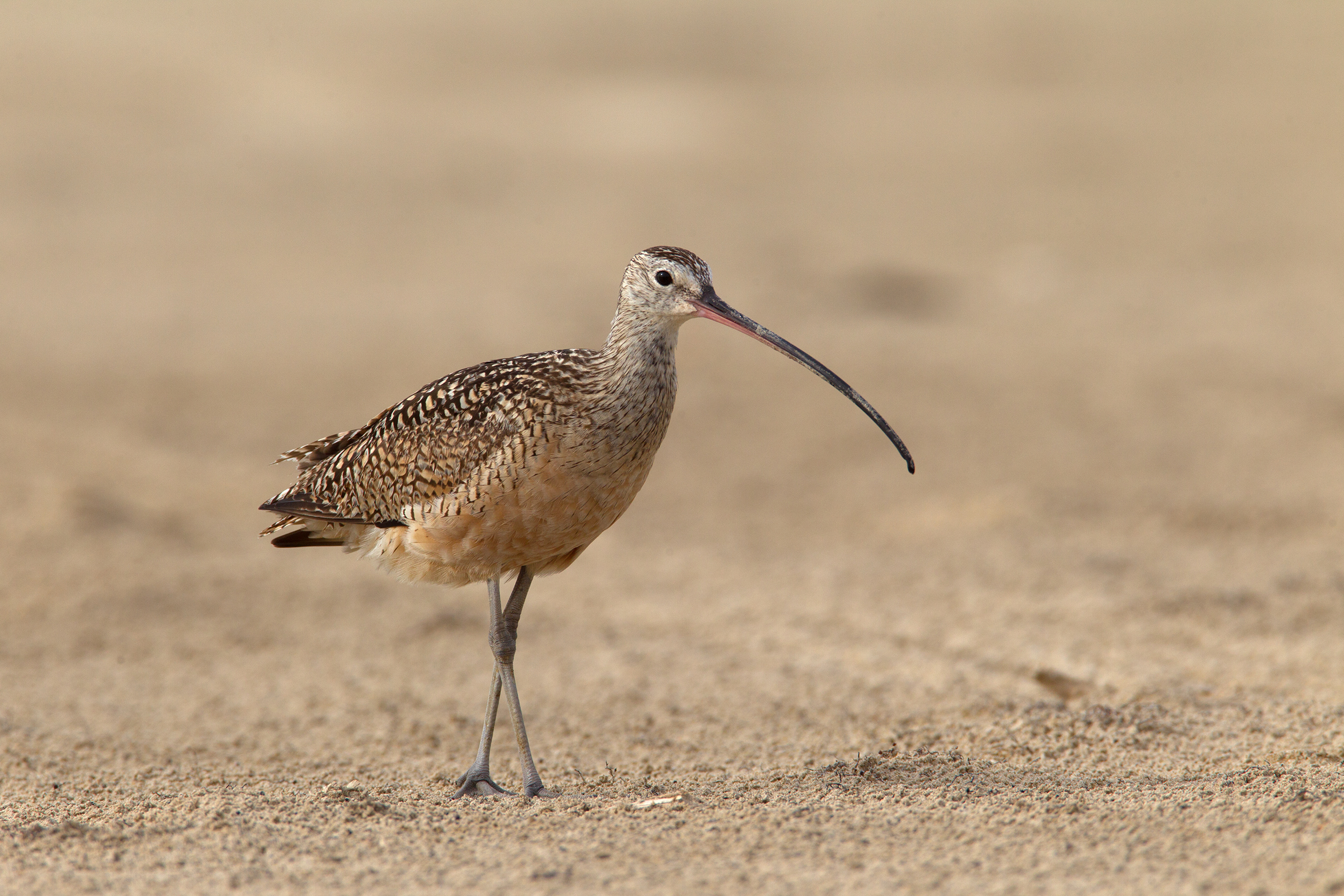 LONG-BILLED CURLEW - Galveston County Tx