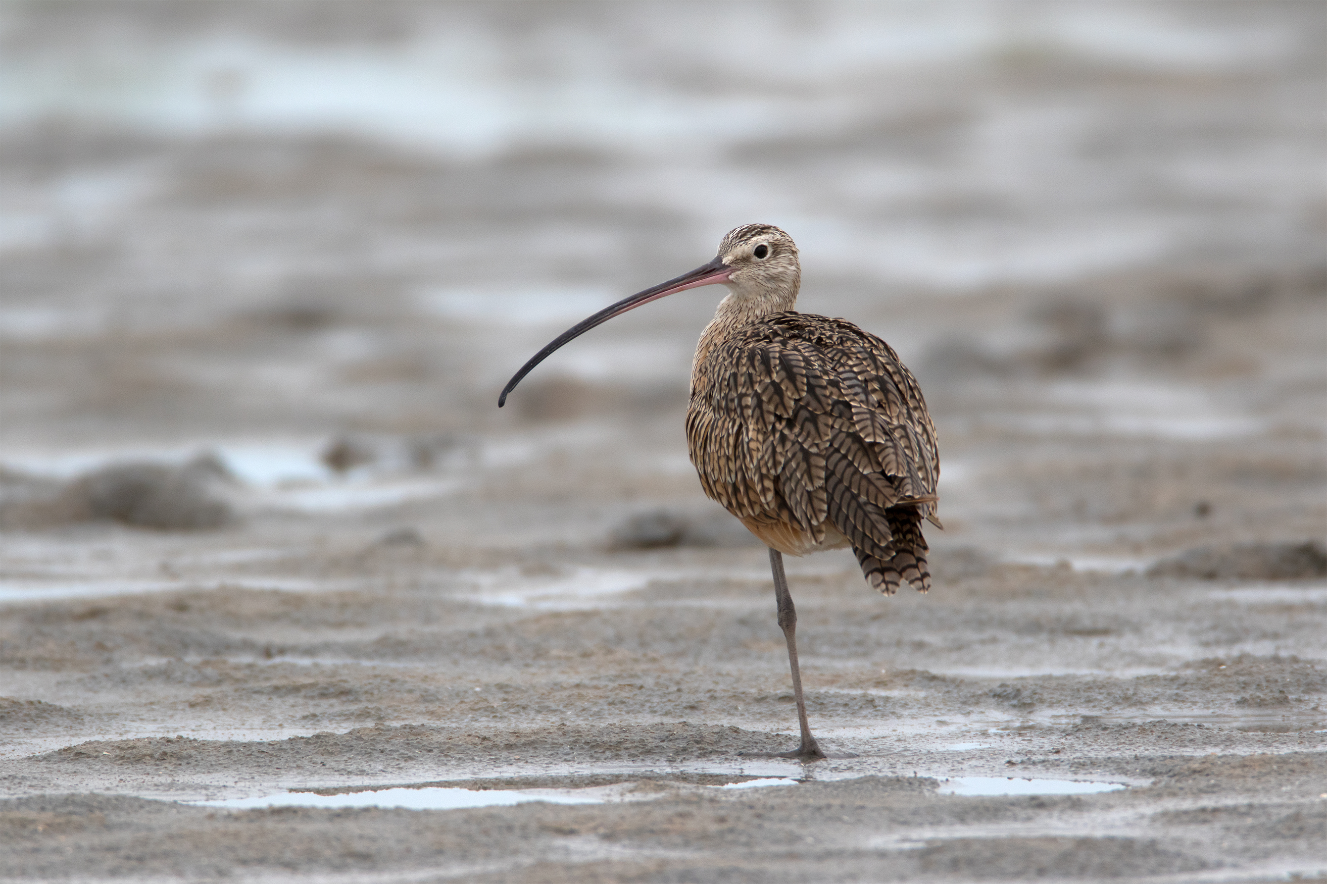 LONG-BILLED CURLEW - Matagorda County Tx