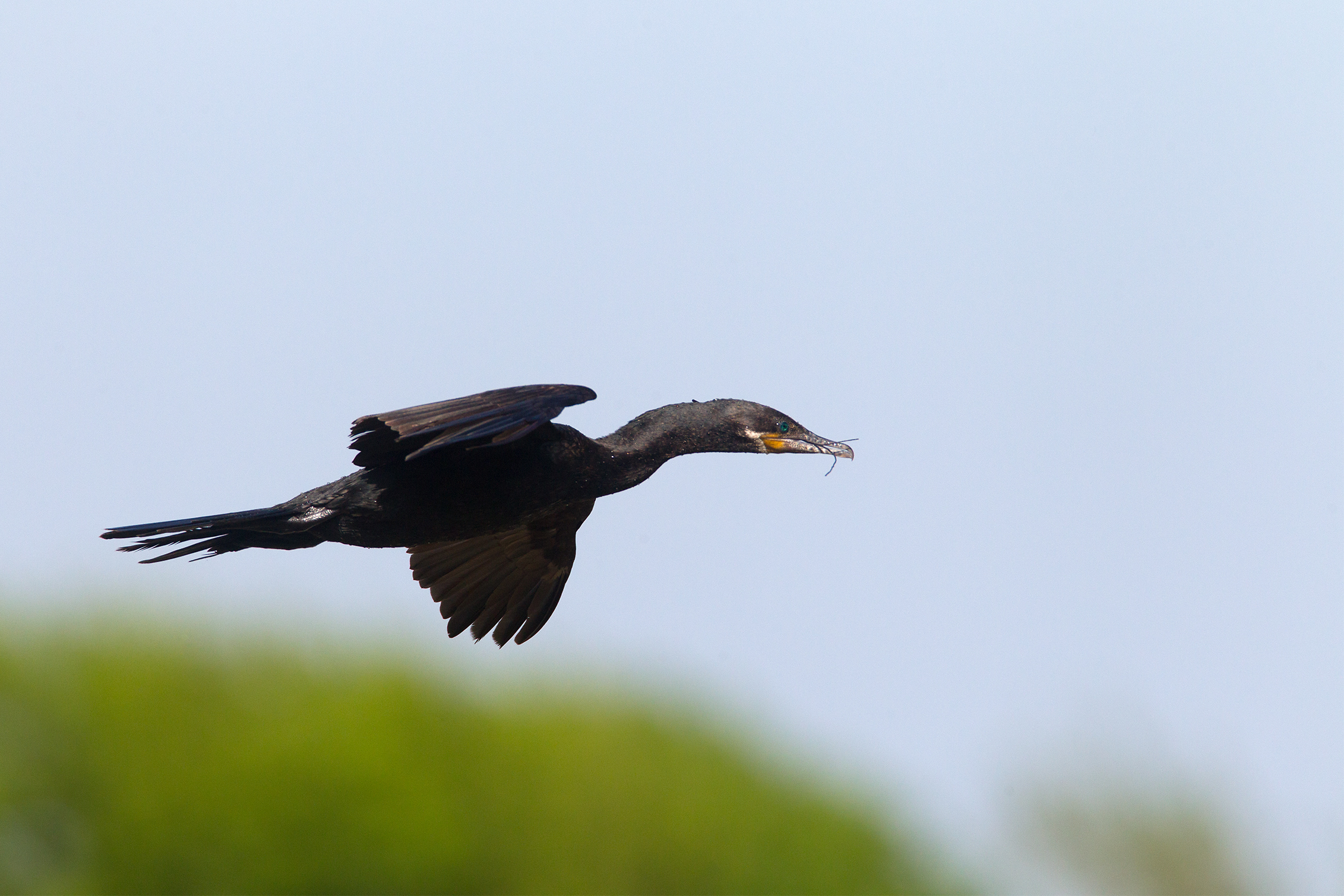 NEOTROPIC CORMORANT - Galveston County Tx