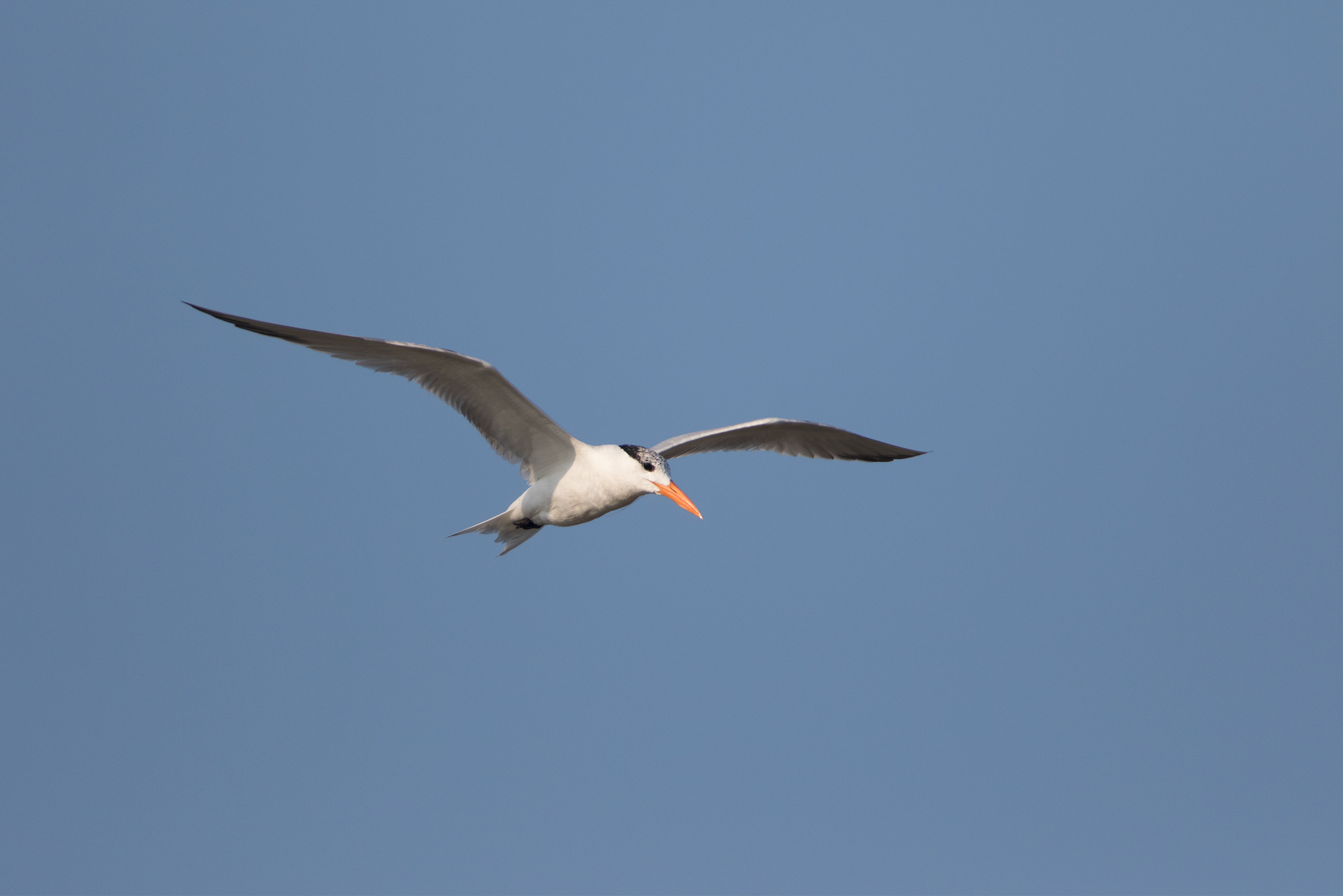 ROYAL TERN - Matagorda County Tx