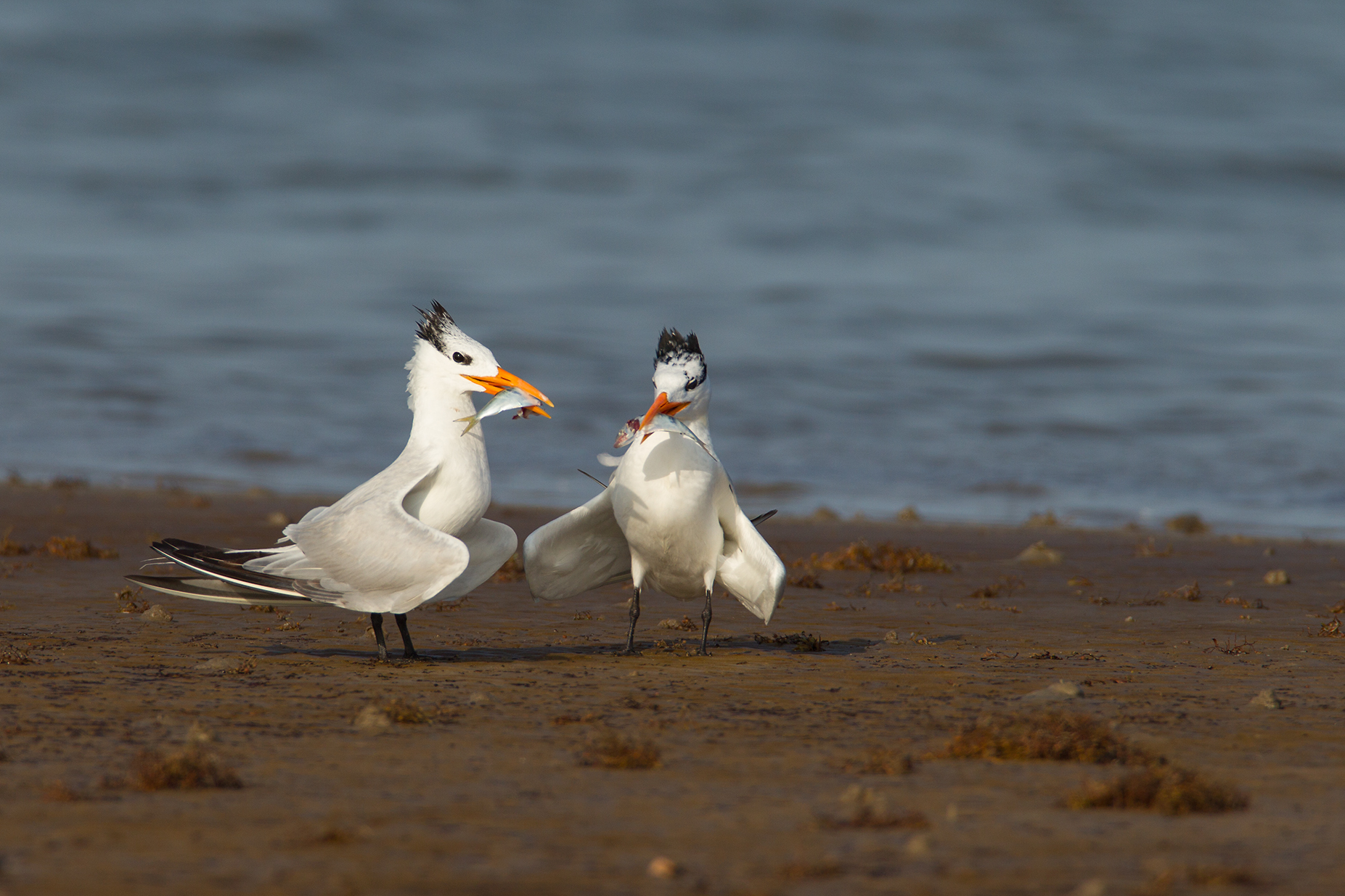ROYAL TERN - Galveston County Tx