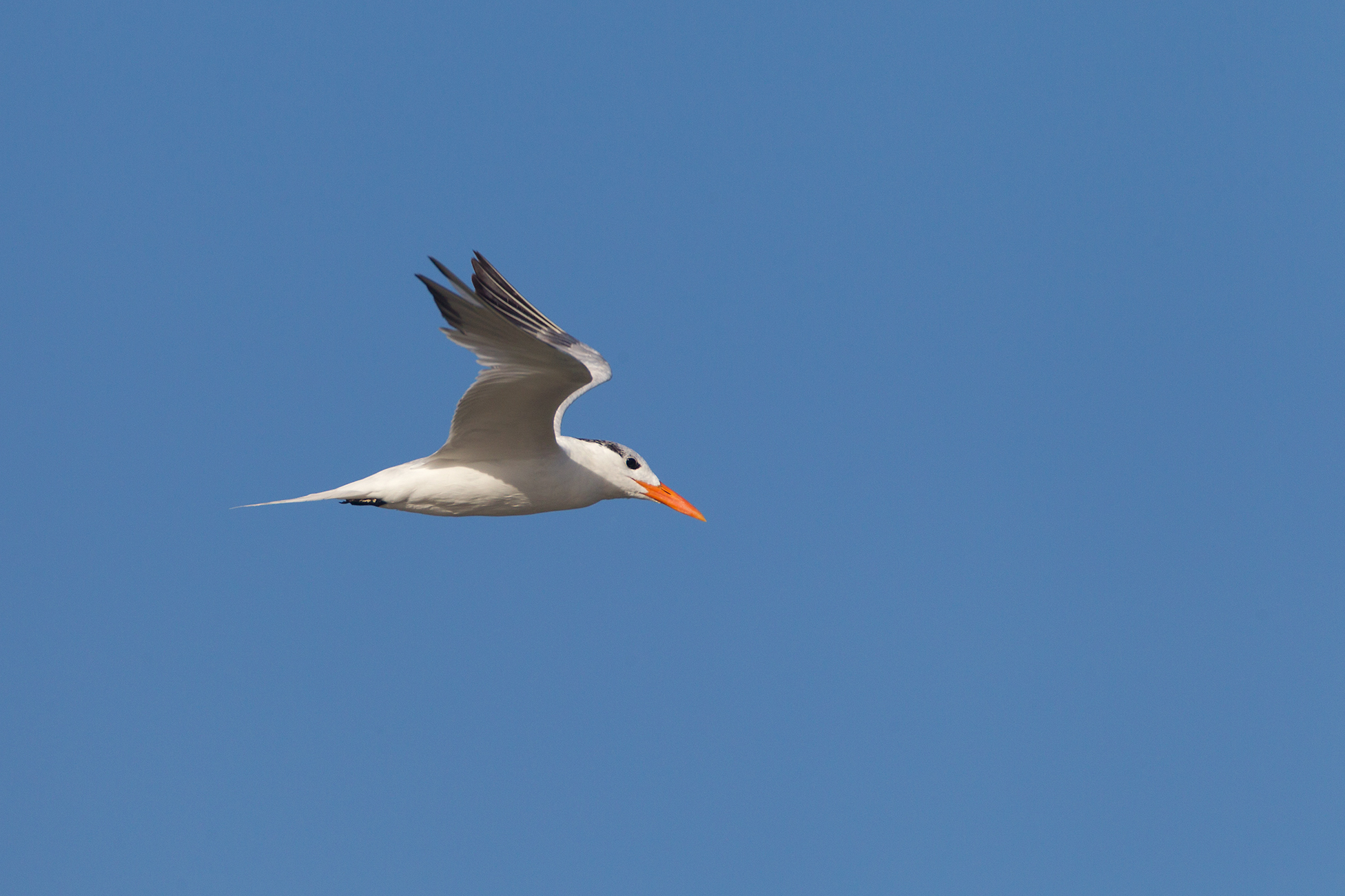 ROYAL TERN - Nueces County Tx