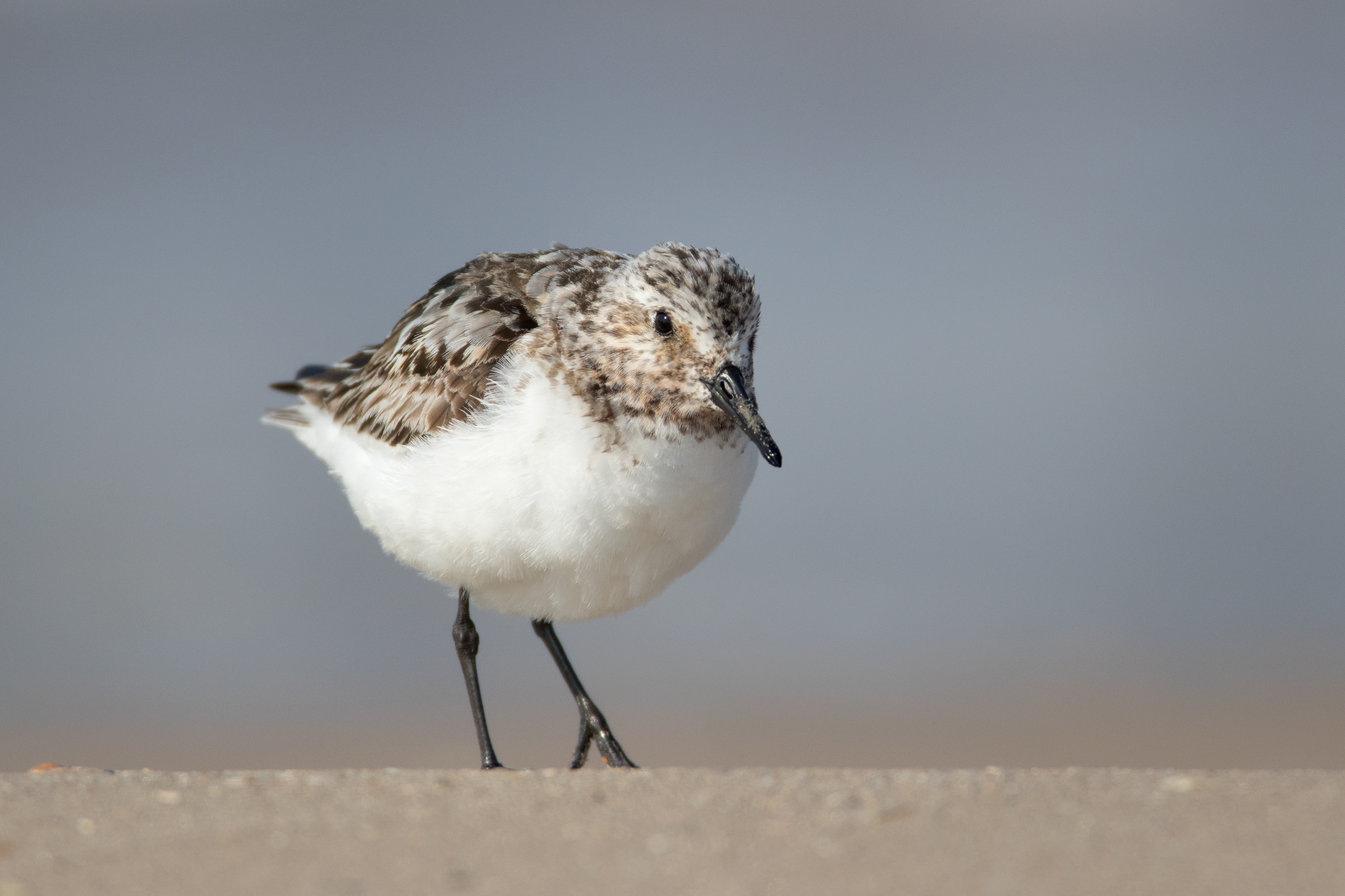 SANDERLING - Matagorda County Tx