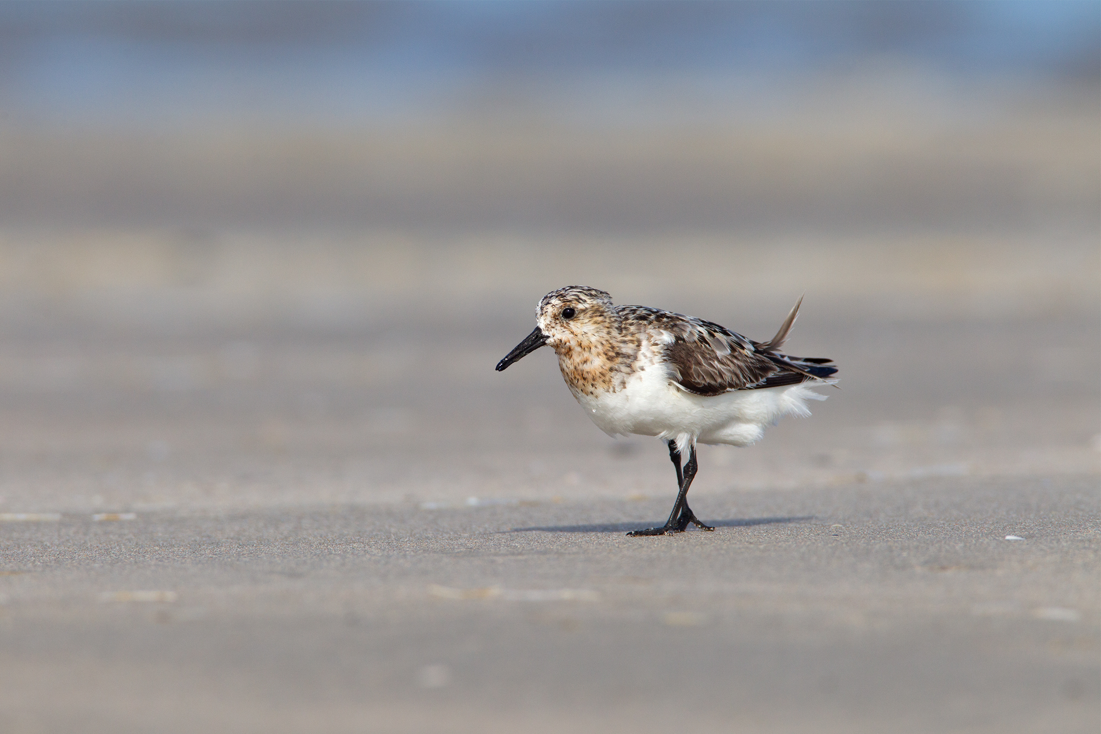 SANDERLING - Galveston County Tx