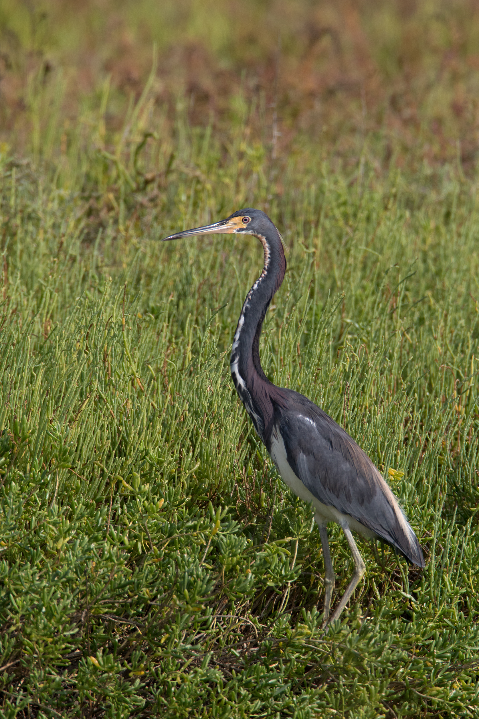 TRICOLORED HERON - Matagorda County Tx