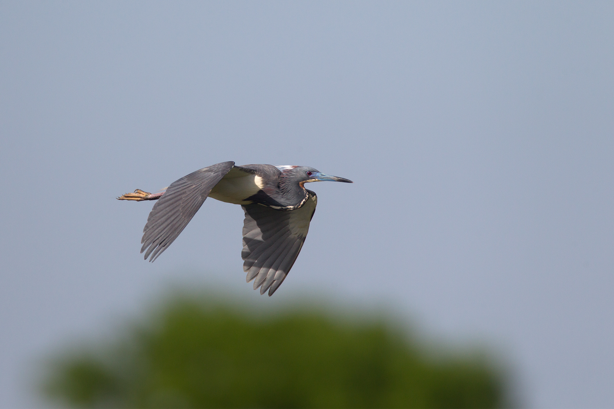 TRICOLORED HERON - Galveston County Tx