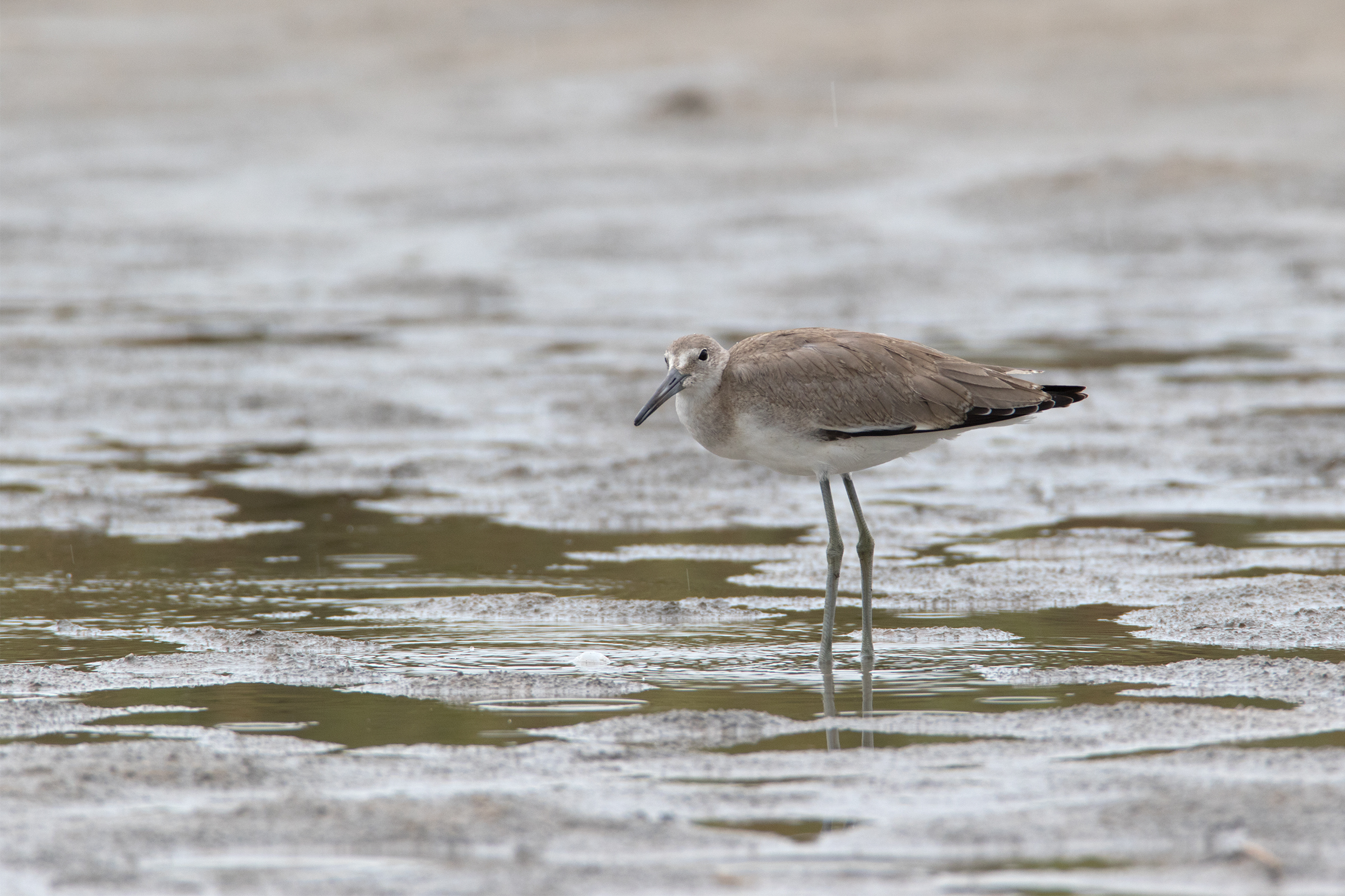 WILLET - Matagorda County Tx