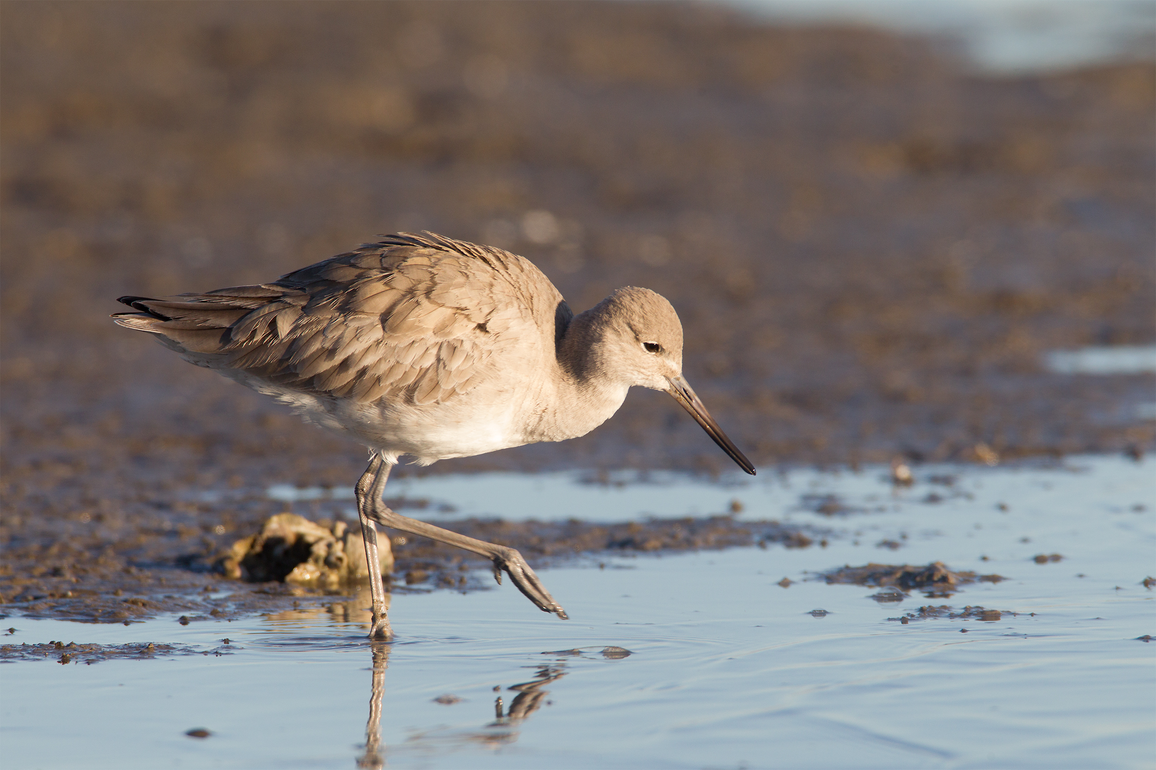 WILLET - Galveston County Tx