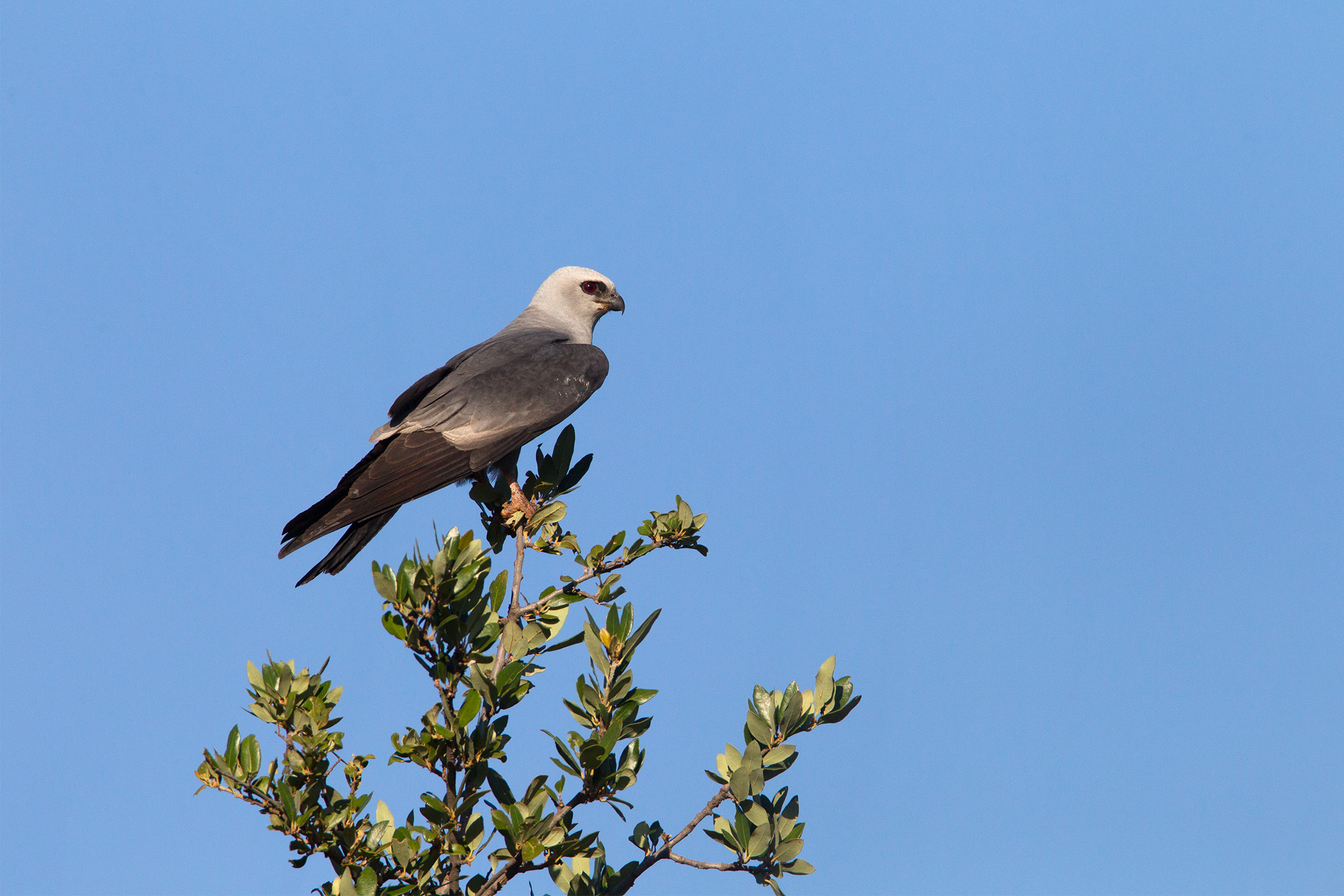 MISSISSIPPI KITE - Taylor County Tx