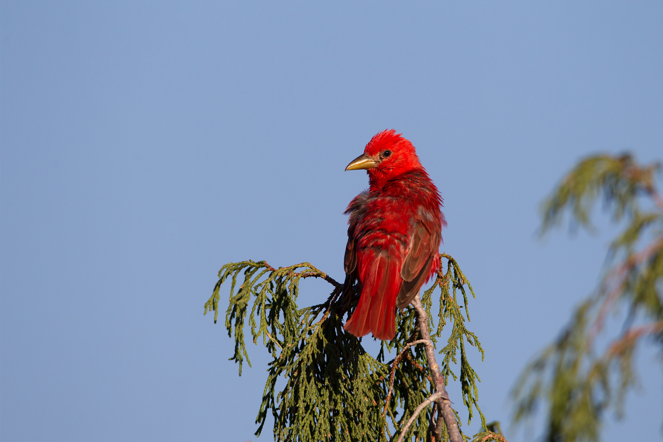 SUMMER TANAGER - Brewster County Tx