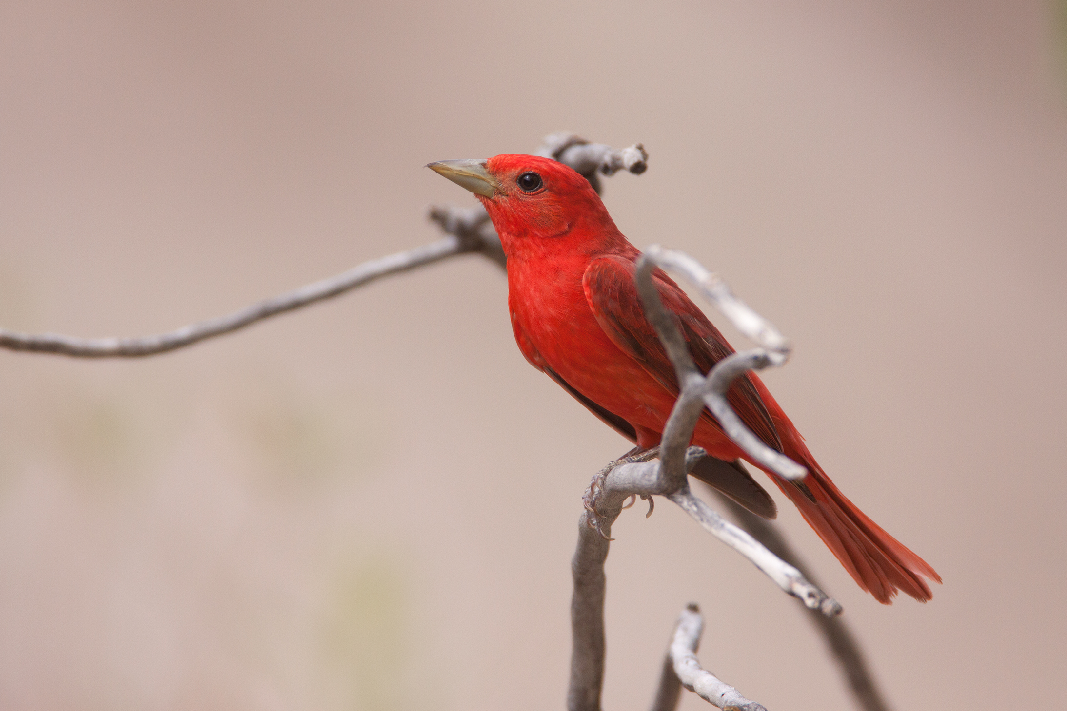SUMMER TANAGER - South Tx