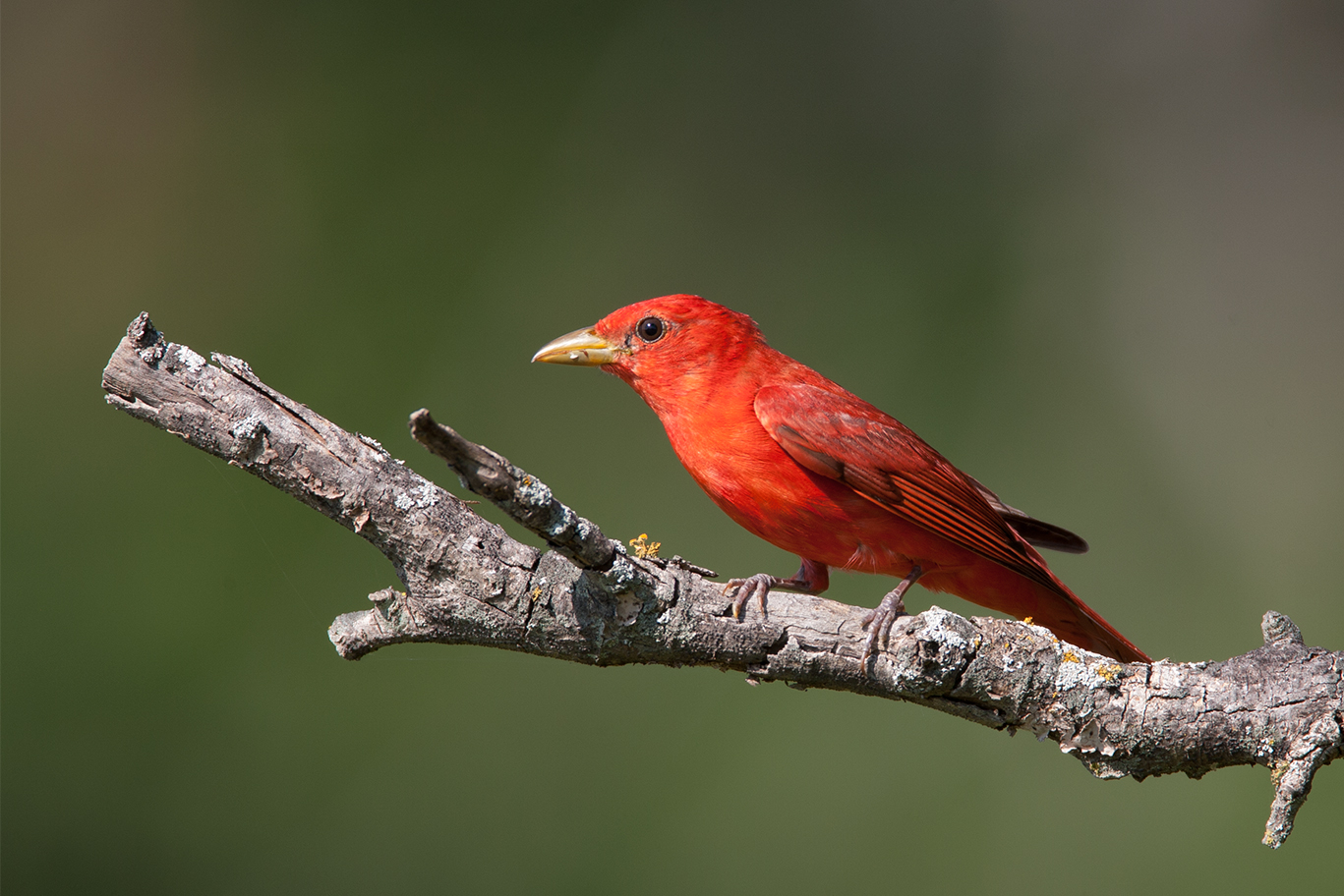 SUMMER TANAGER - Grayson County Tx