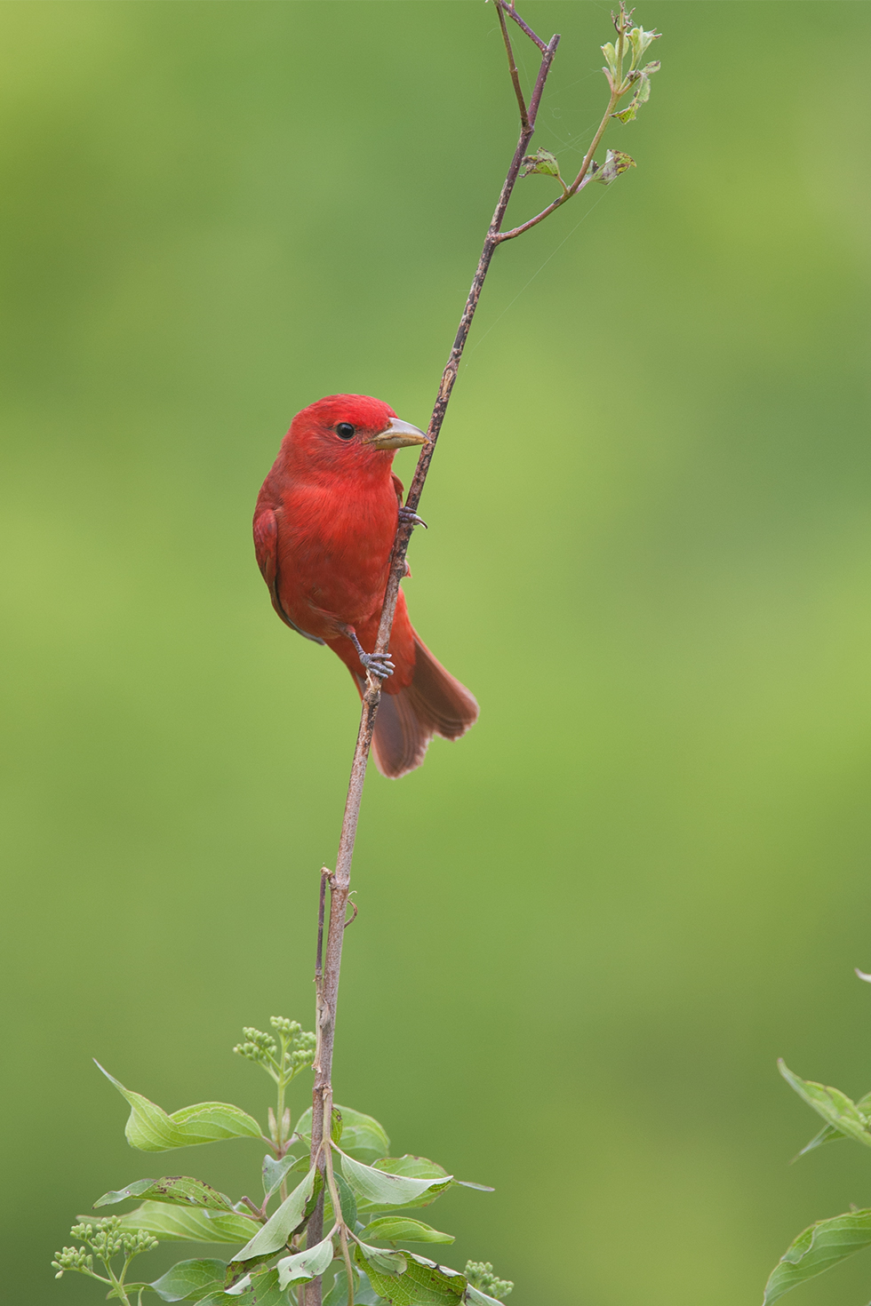 SUMMER TANAGER - Oklahoma