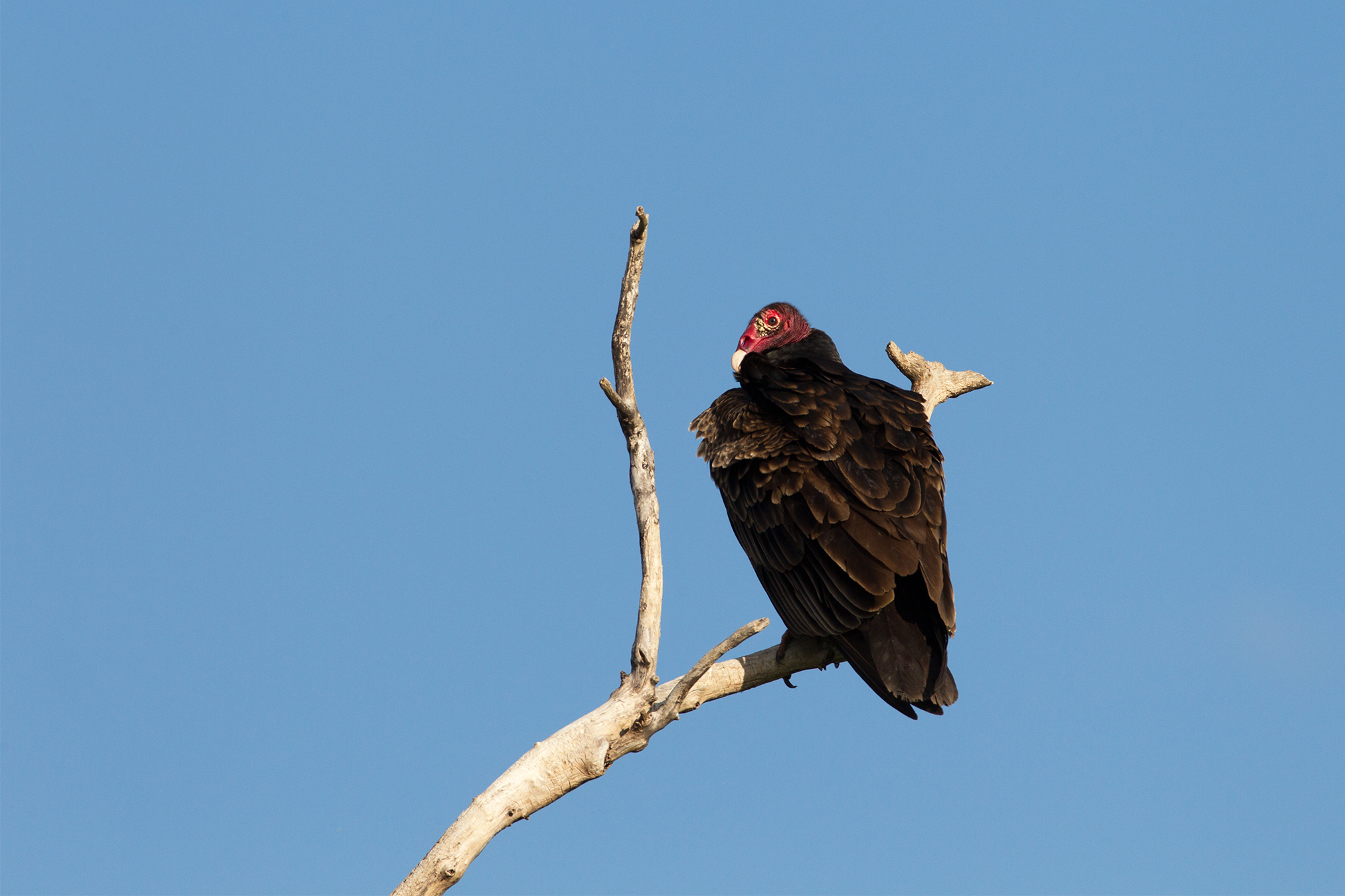 TURKEY VULTURE - Grayson County Tx