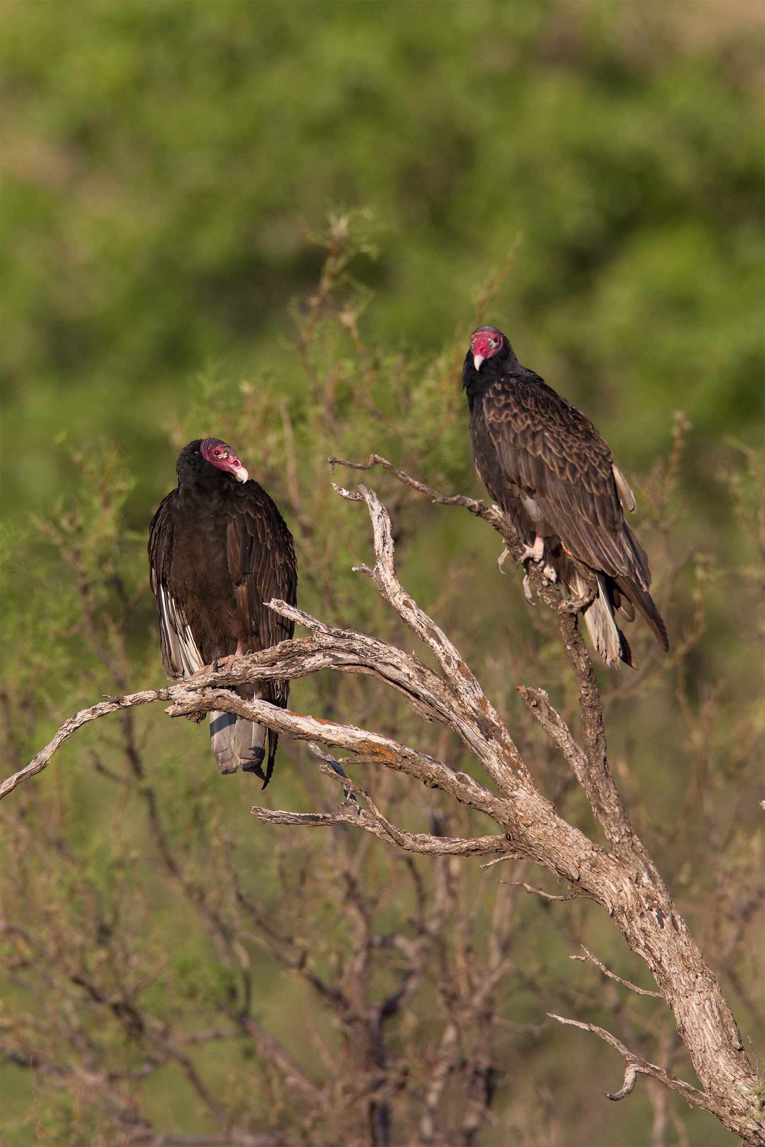 TURKEY VULTURE - Pesos County Tx