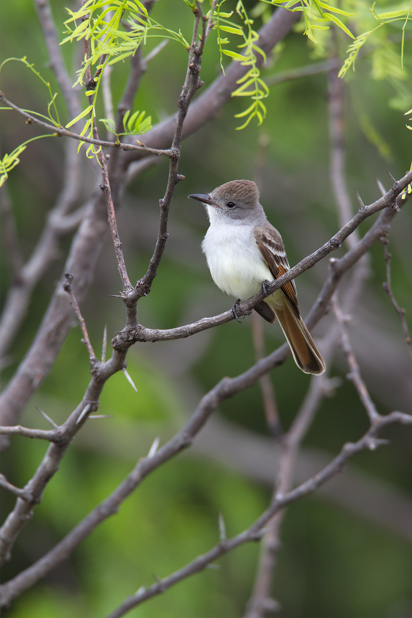 ASH-THROATED FLYCATCHER - Taylor County Tx