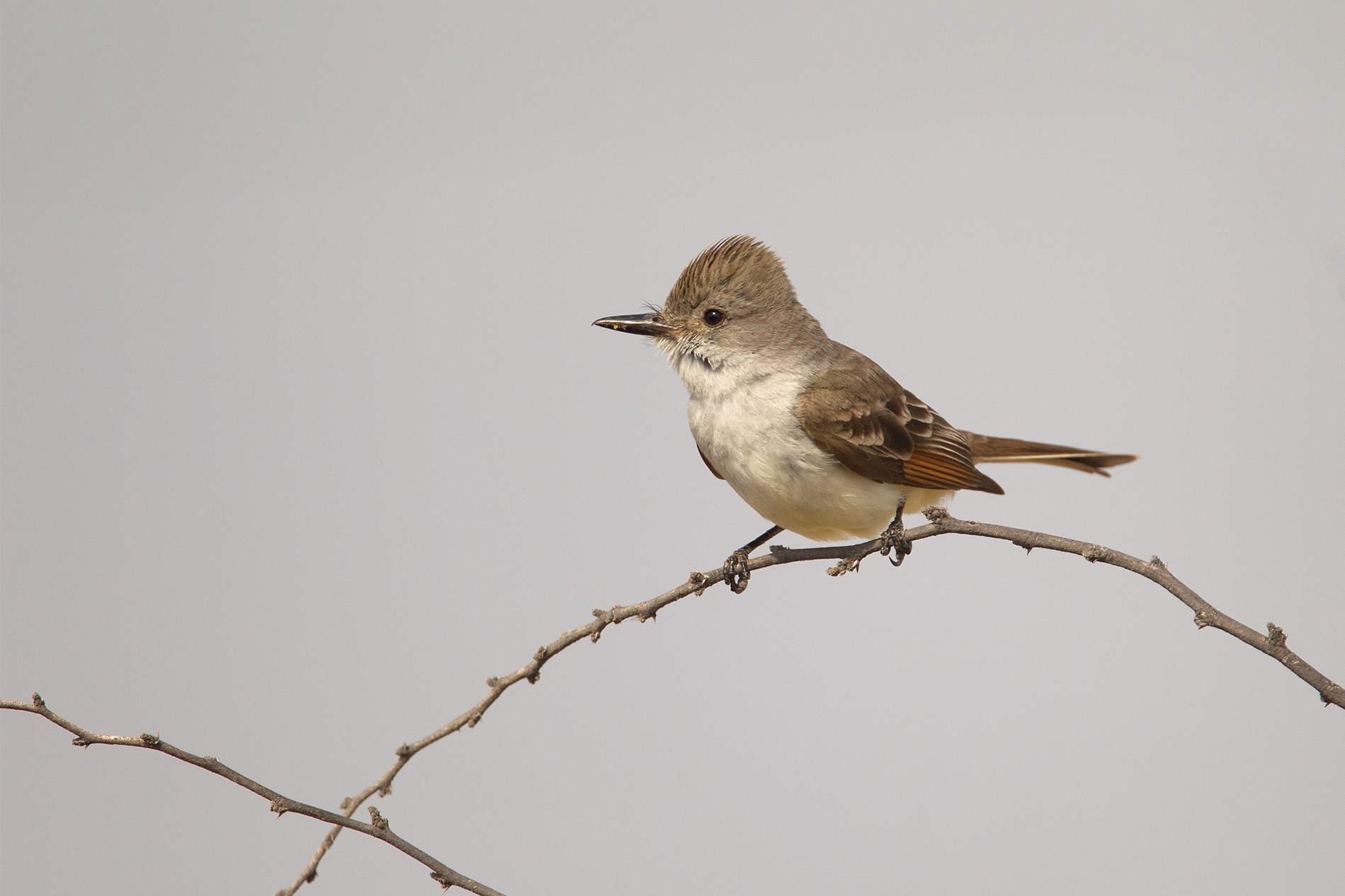 ASH-THROATED FLYCATCHER - Val Verde County Tx