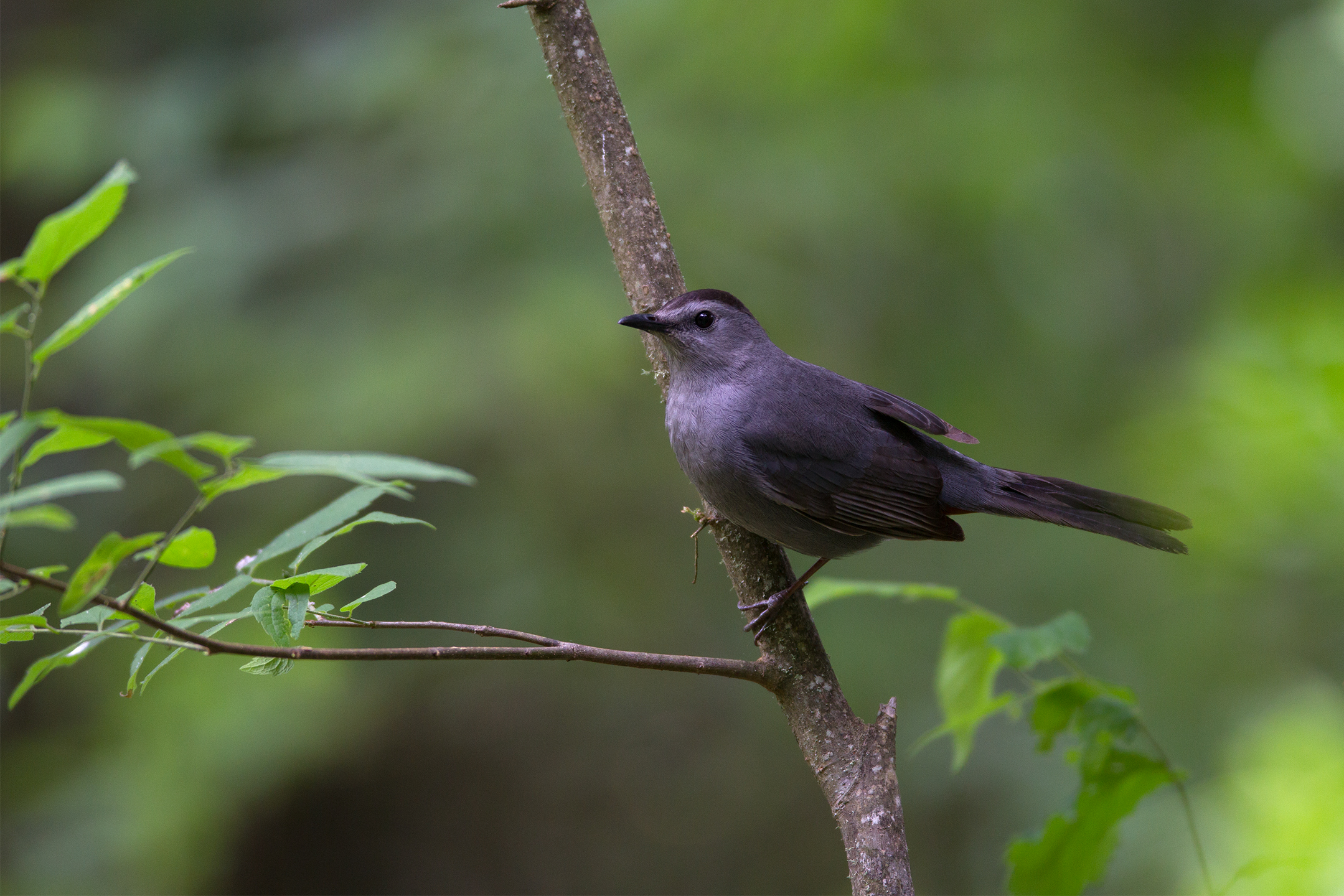 GRAY CATBIRD - Galveston County Tx