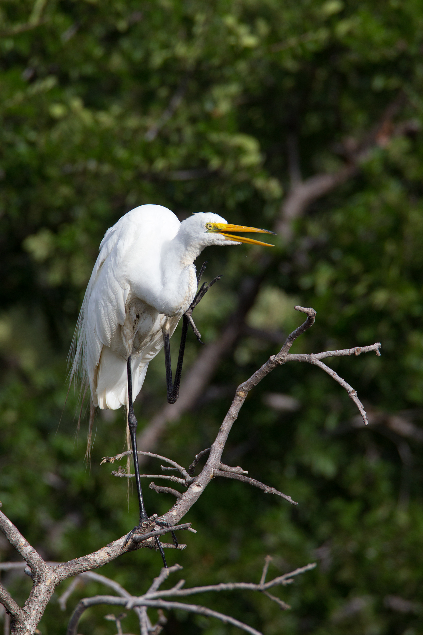 GREAT EGRET - Dallas County Tx