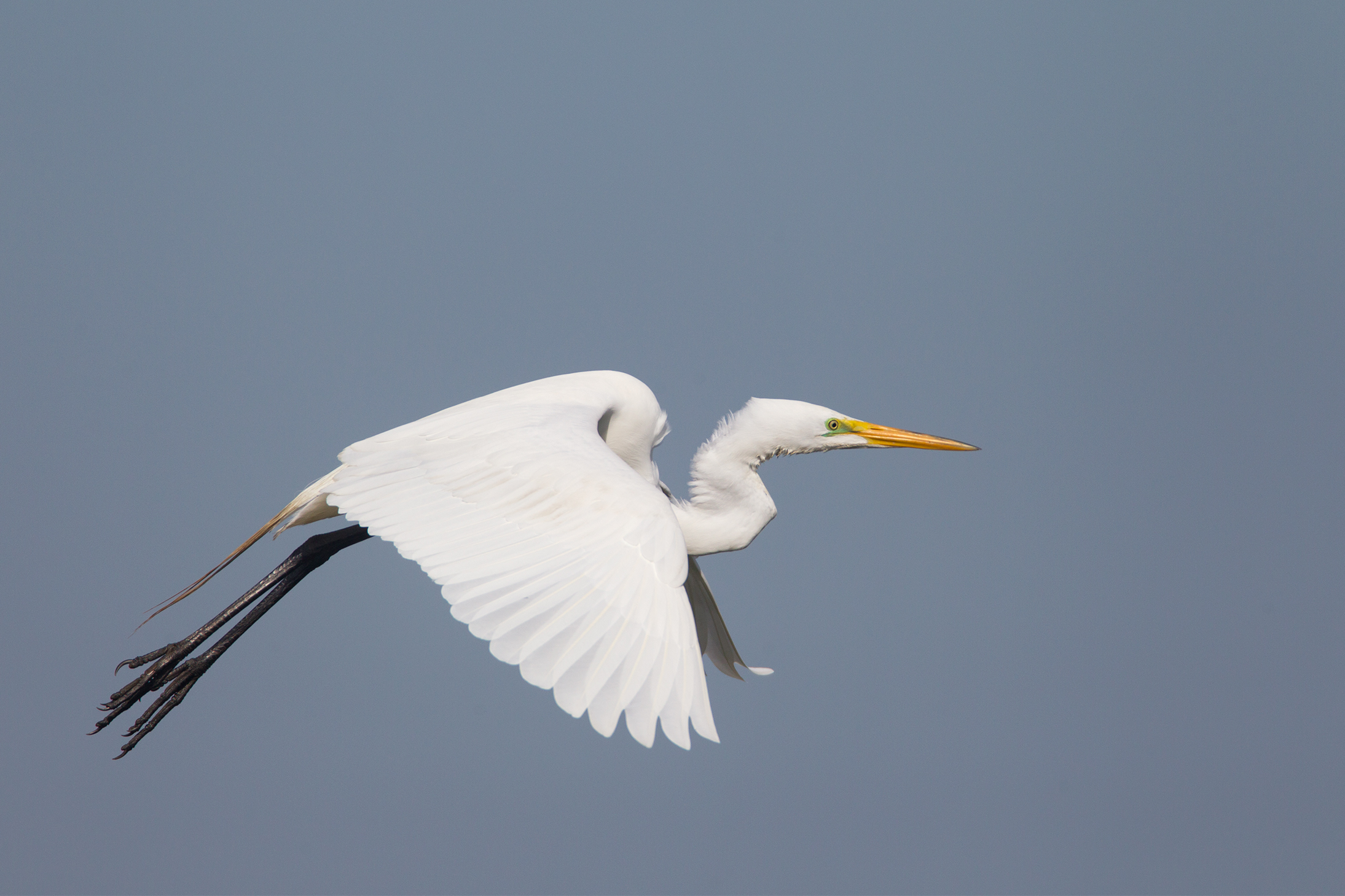 GREAT EGRET - Galveston County Tx