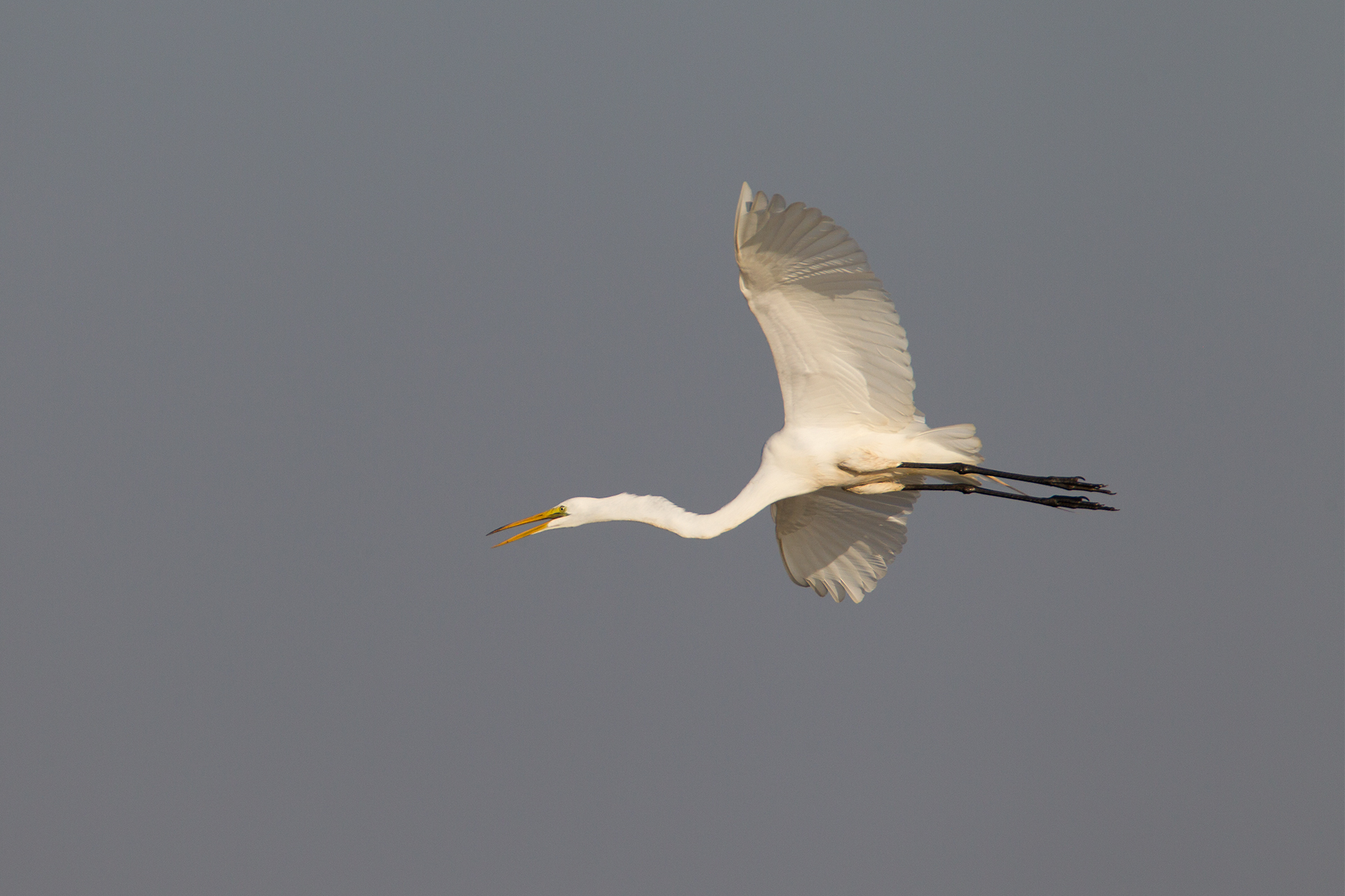 GREAT EGRET - Grayson County Tx