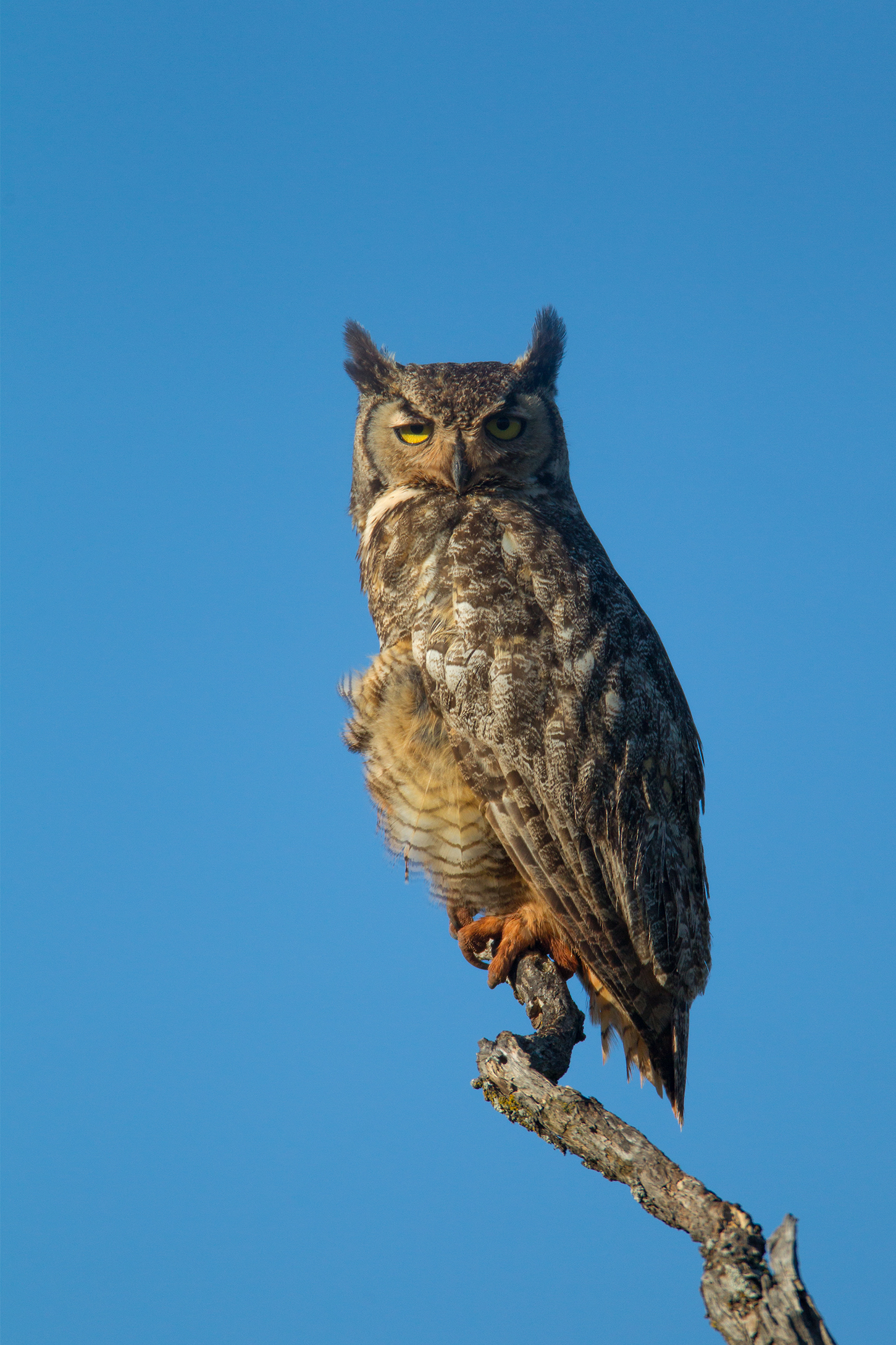 GREAT HORNED OWL - Taylor County Tx