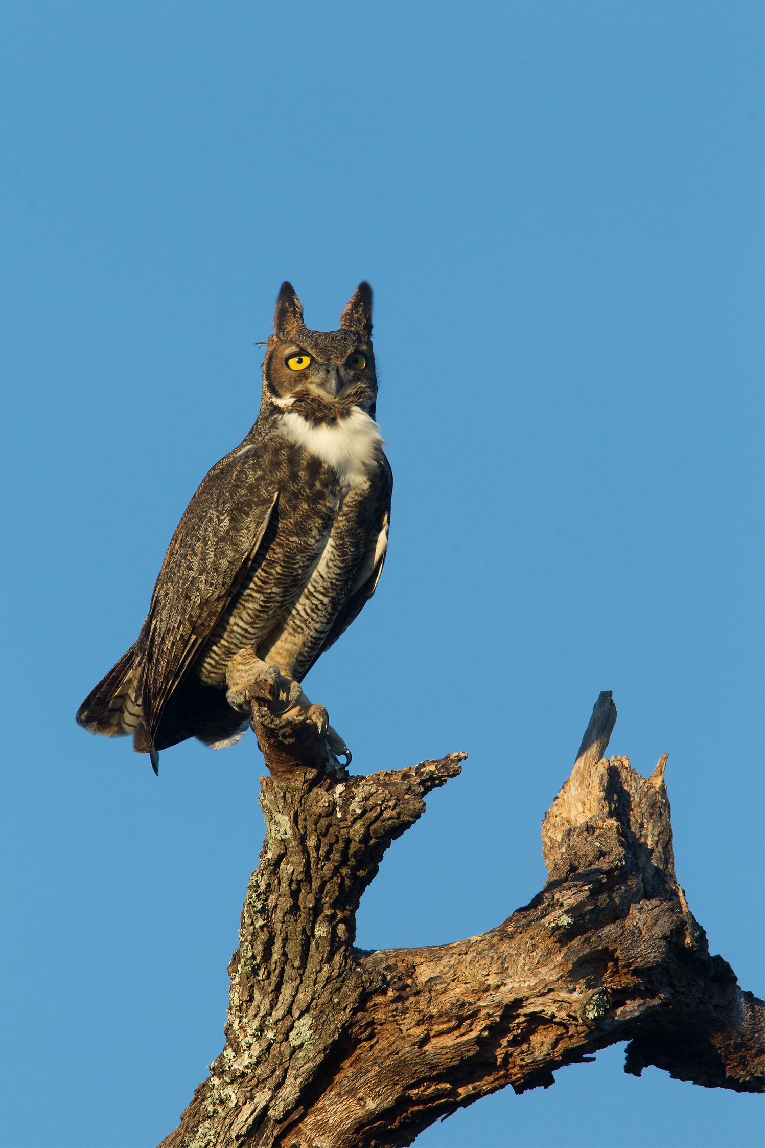 GREAT HORNED OWL - Washington County Tx