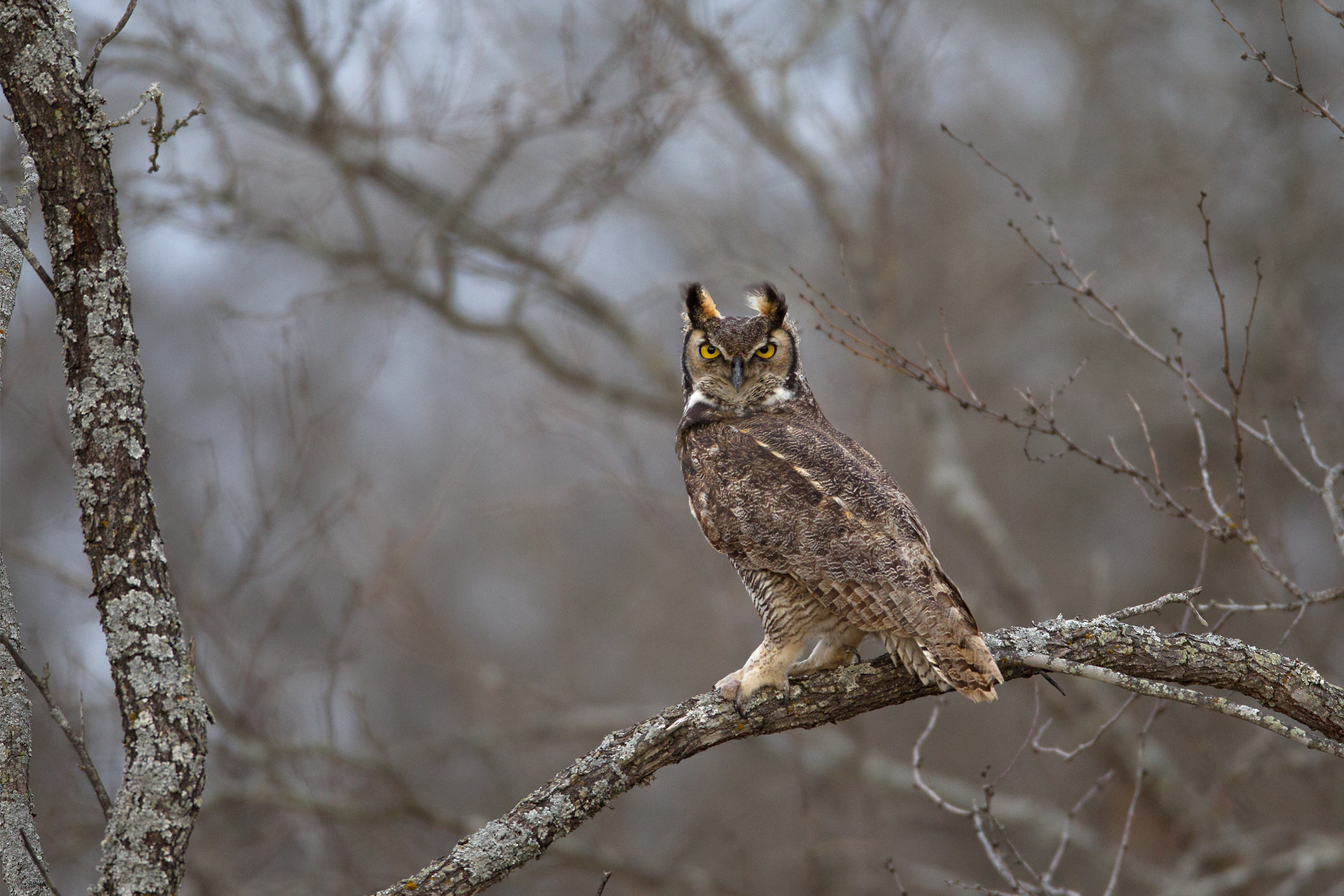 GREAT HORNED OWL - Brown County Tx