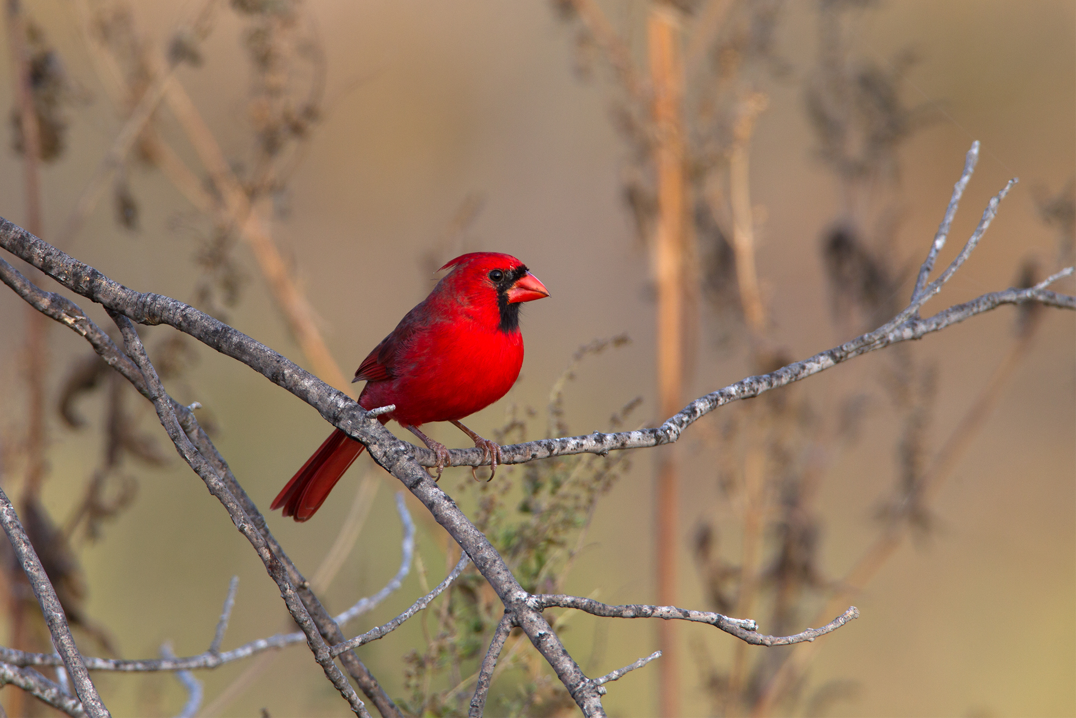 NORTHERN CARDINAL - Grayson County Tx