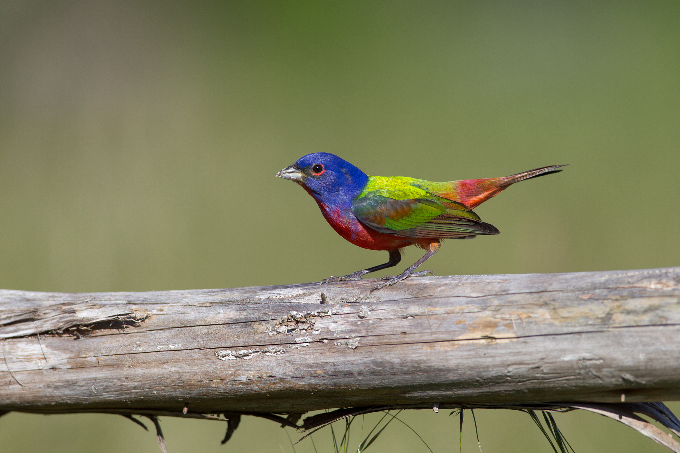 PAINTED BUNTING - Bexar County Tx