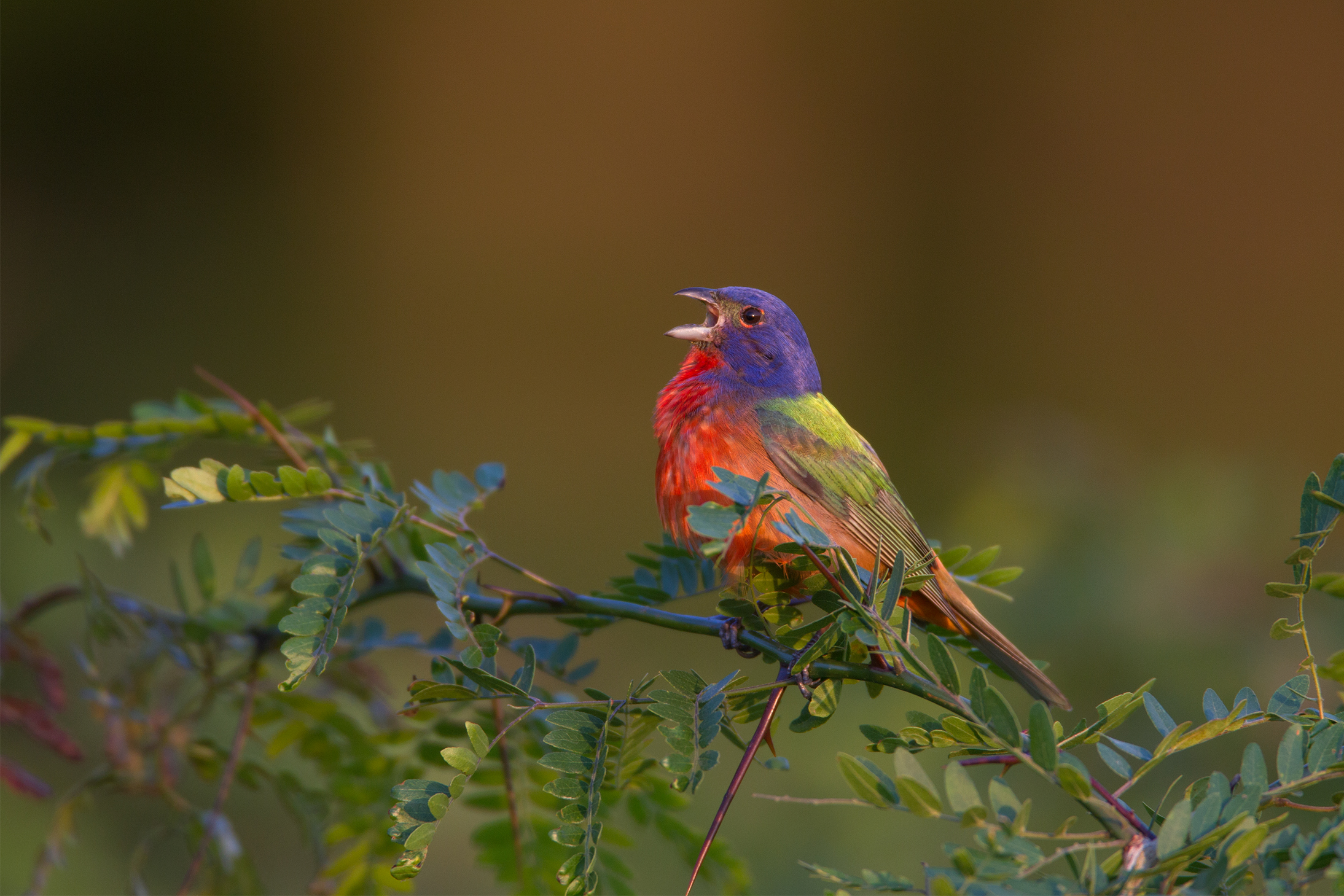 PAINTED BUNTING - Grayson County Tx