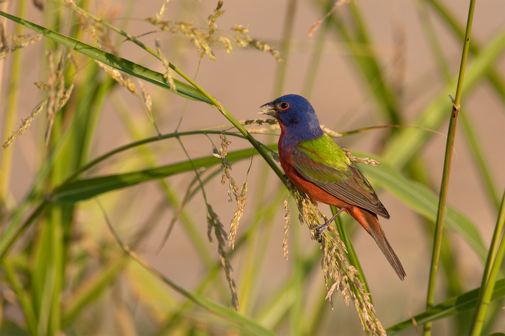 PAINTED BUNTING - Brewster County Tx