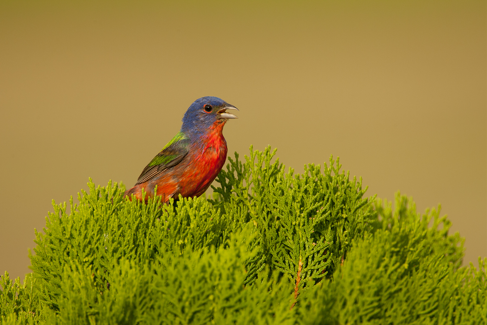 PAINTED BUNTING - Washington County Tx