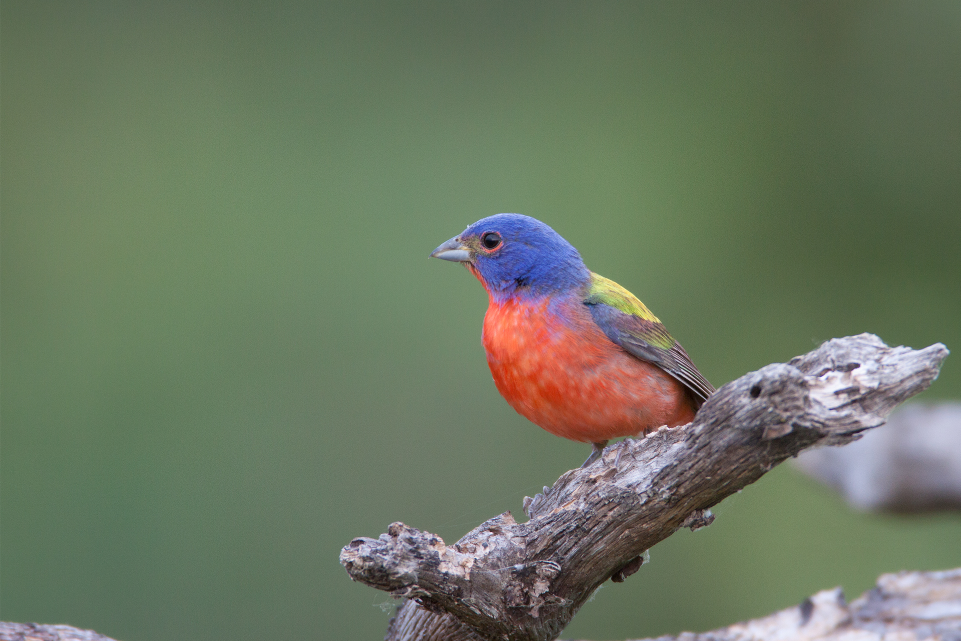 PAINTED BUNTING - Comanche County Ok