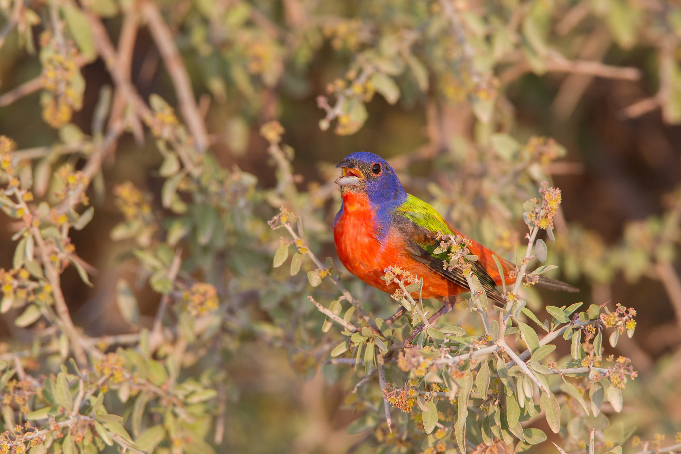 PAINTED BUNTING - Taylor County Tx