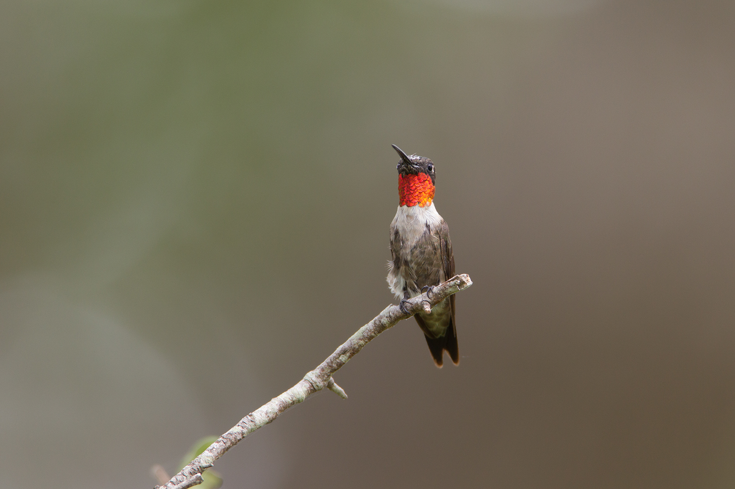 RUBY-THROATED HUMMINGBIRD - Washington County Tx