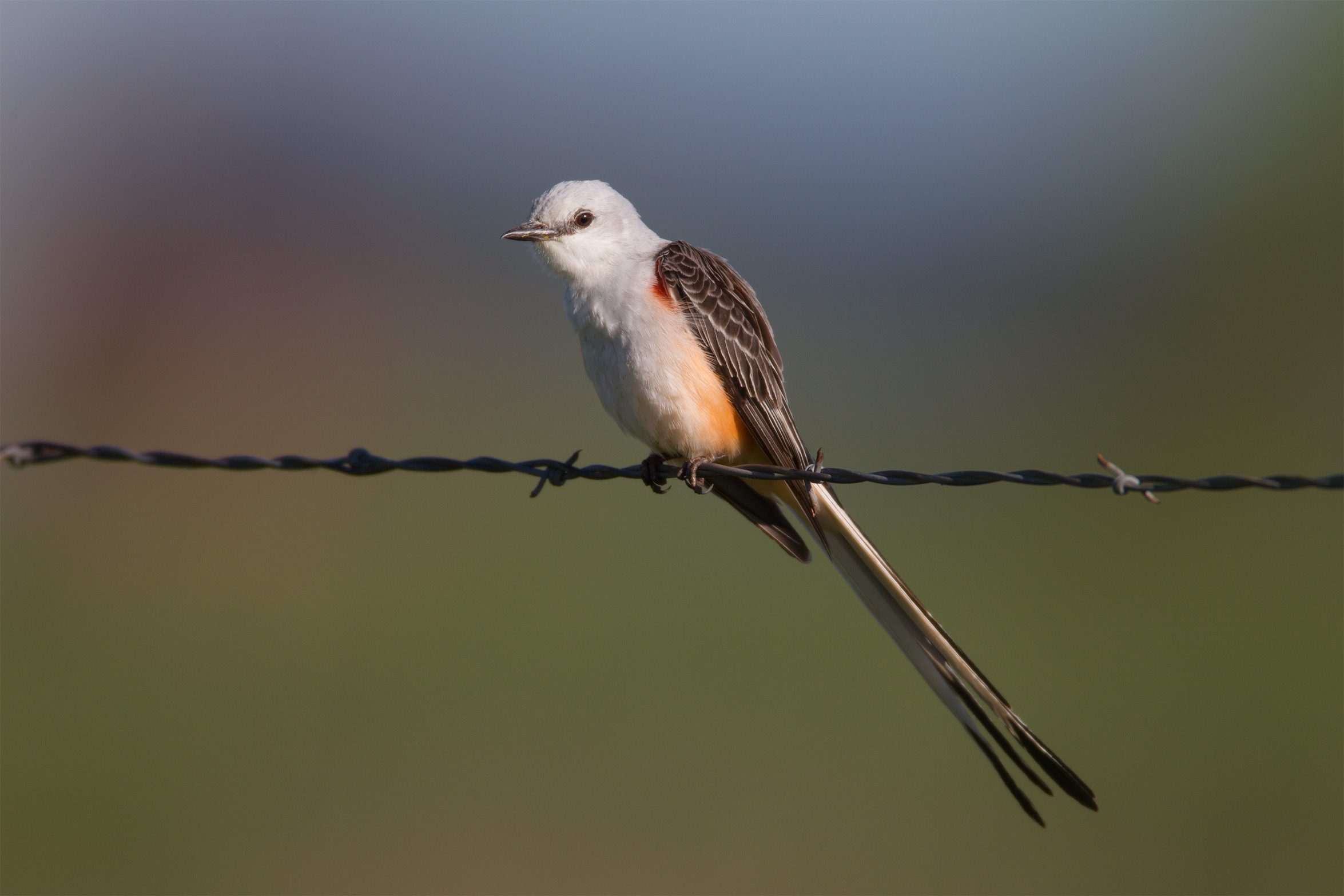 SCISSOR-TAILED FLYCATCHER - Taylor County Tx