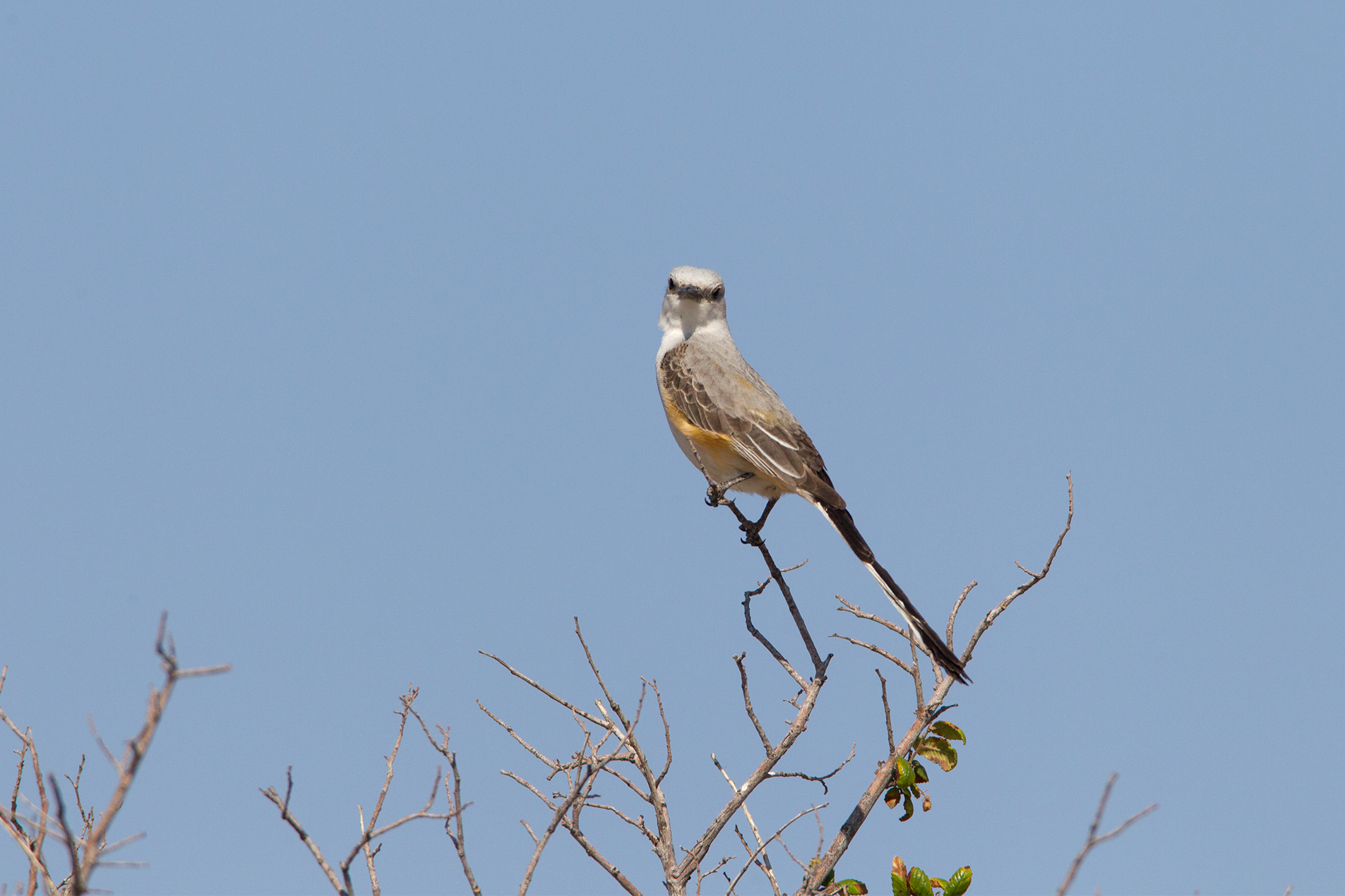 SCISSOR-TAILED FLYCATCHER - Pesos County Tx